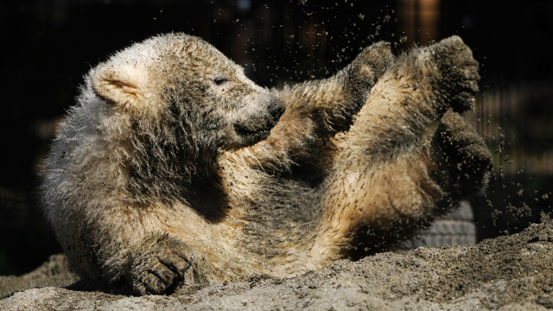 June 24: An orphaned polar bear cub that was rescued from Alaska's North Slope in April is play at the Alaska Zoo, where it has been recovering, in Anchorage, Alaska.