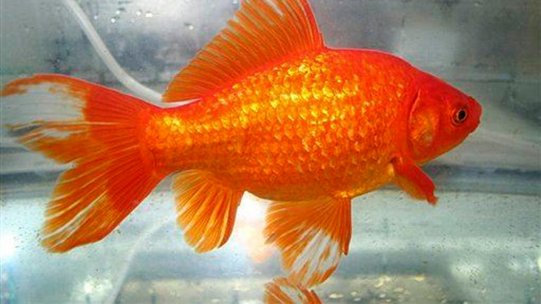 This undated photo shows a common goldfish.