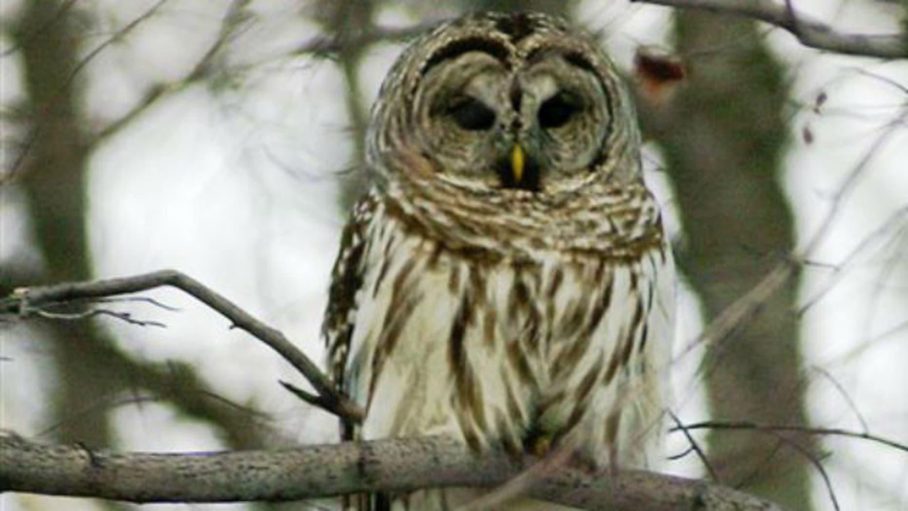 A barred owl perches in Calais, Vt.