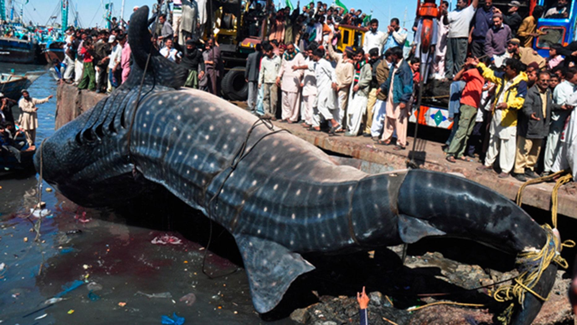 Feb. 7, 2012 People look at a carcass of whale shark in Karachi, Pakistan. The 40-foot whale was found dead near Karachi in the Arabian Sea