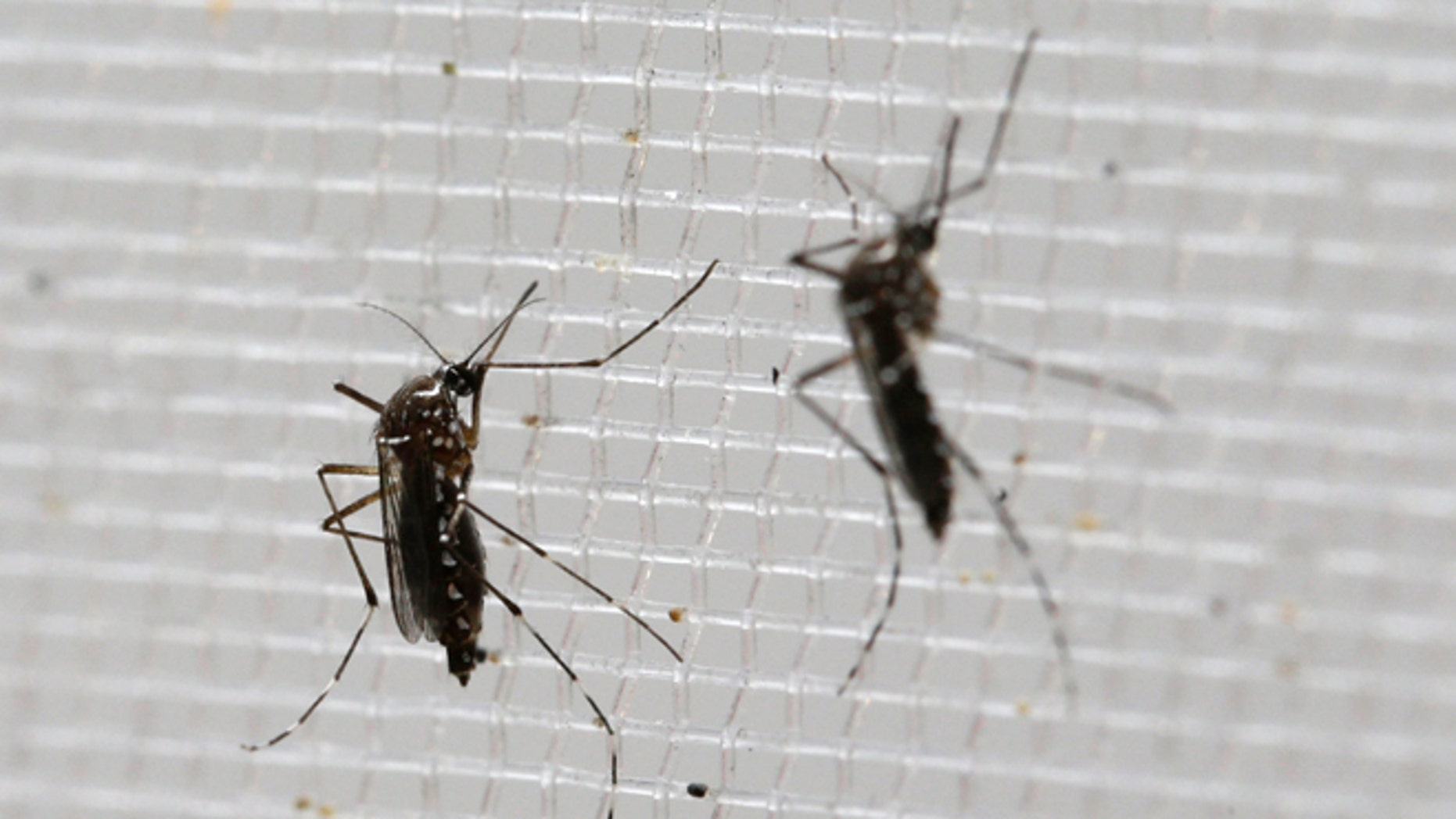 Aedes aegypti mosquitoes at the Gorgas Memorial Laboratory in Panama City.