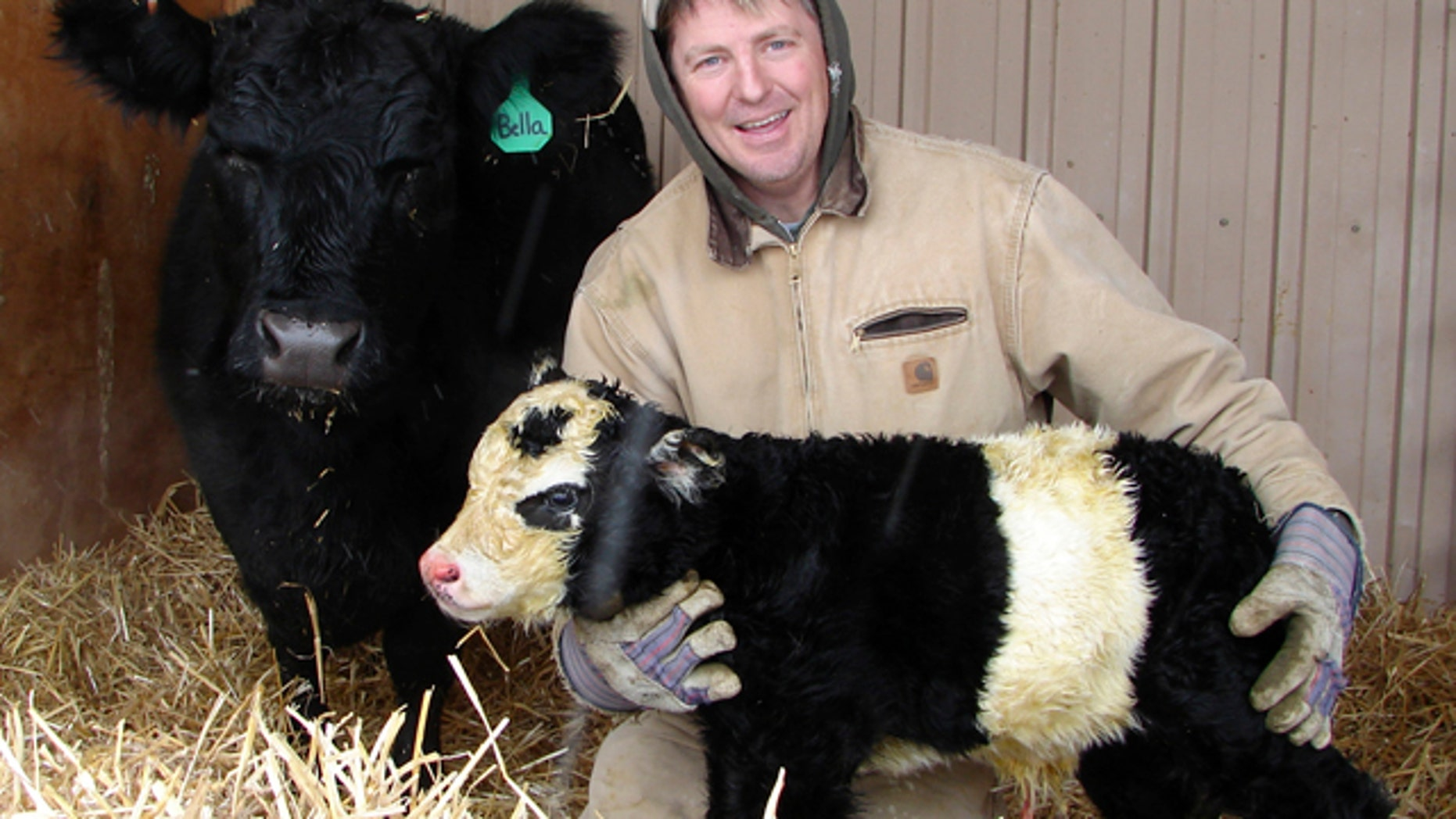 "In this Dec. 31, 2010 photo, farmer Chris Jessen holds his new ""panda cow"" named Ben, hours after the rare miniature cow was born in Campion, Colo. The miniature panda cow is the result of genetic manipulation. A white belt encircles the animal's midsection, and the cow has a white face with black ovals around the eyes, giving it a panda-like appearance. The mini-cattle are bred solely as pets. Jessen says panda calves can sell for $30,000."