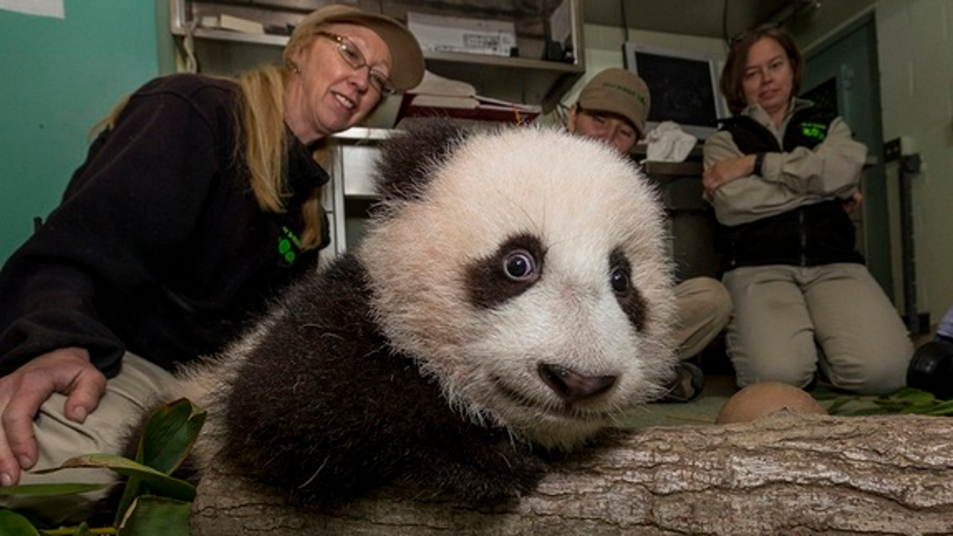San Diego Zoo keepers placed a small section of a tree branch and some fresh bamboo on the ground for the panda cub's 17th exam on Dec. 13.