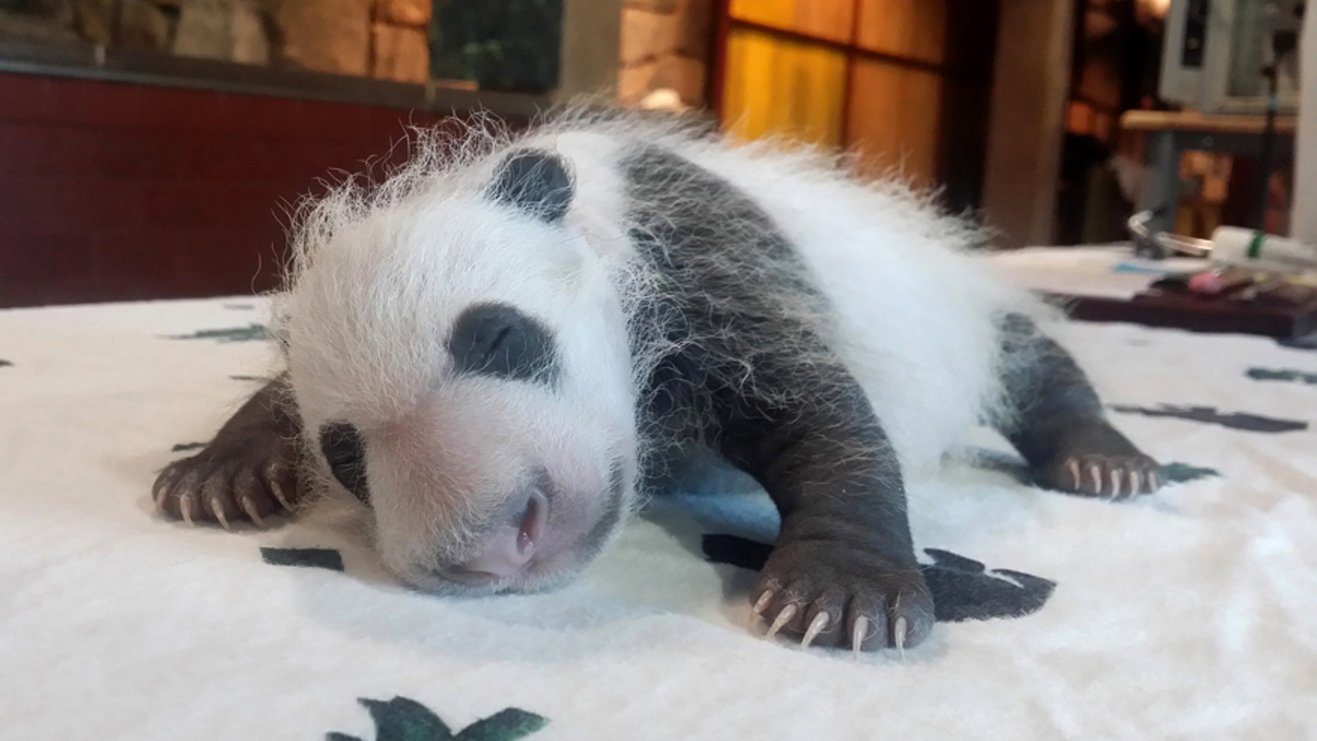 FILE - In this Sept. 14, 2015 file photo provided by the Smithsonian's National Zoo, Bei Bei, born Aug. 22, 2015, is seen in Washington as keepers weighed the giant panda cub.