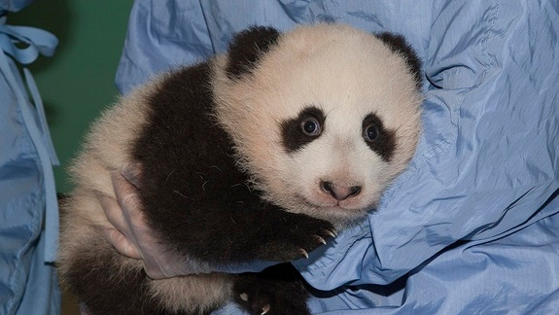 Newly named Xiao Liwu gets his 13th checkup.