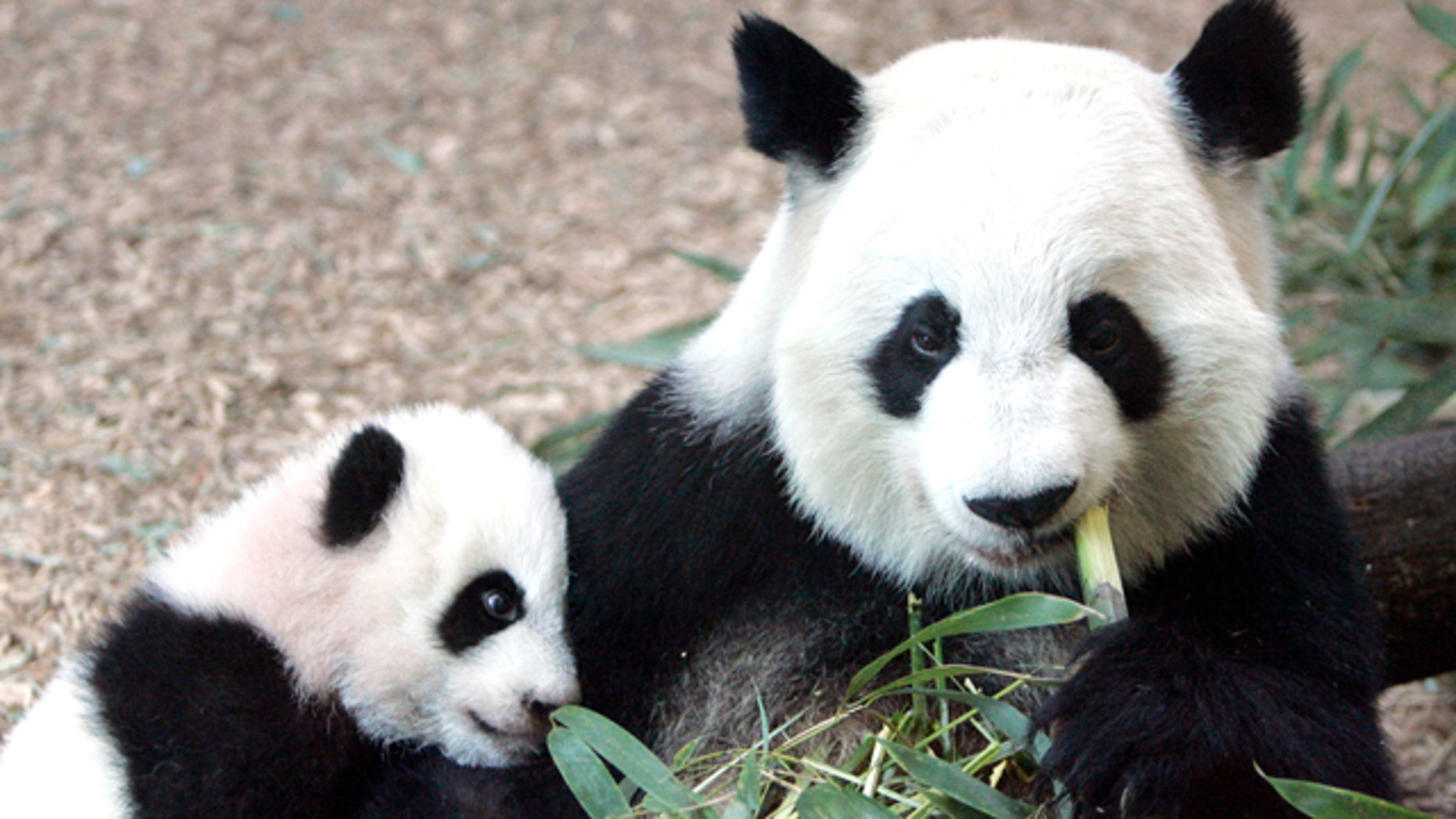 In this Jan. 12, 2007, file photo, Giant Panda panda mother Lun Lun (right) eats bamboo as her cub Mei Lan explores her new habitat at Zoo Atlanta. Zoo officials say Lun Lun has given birth to her third cub at 5:39 a.m. on Wednesday, Nov. 3, 2010 in a specially prepared birthing den. Lun Lun was inseminated with sperm from her partner, Yang Yang, in June after the two failed to mate. The couple's previous cubs were Mei Lan, born in 2006, and Xi Lan, born in 2008.