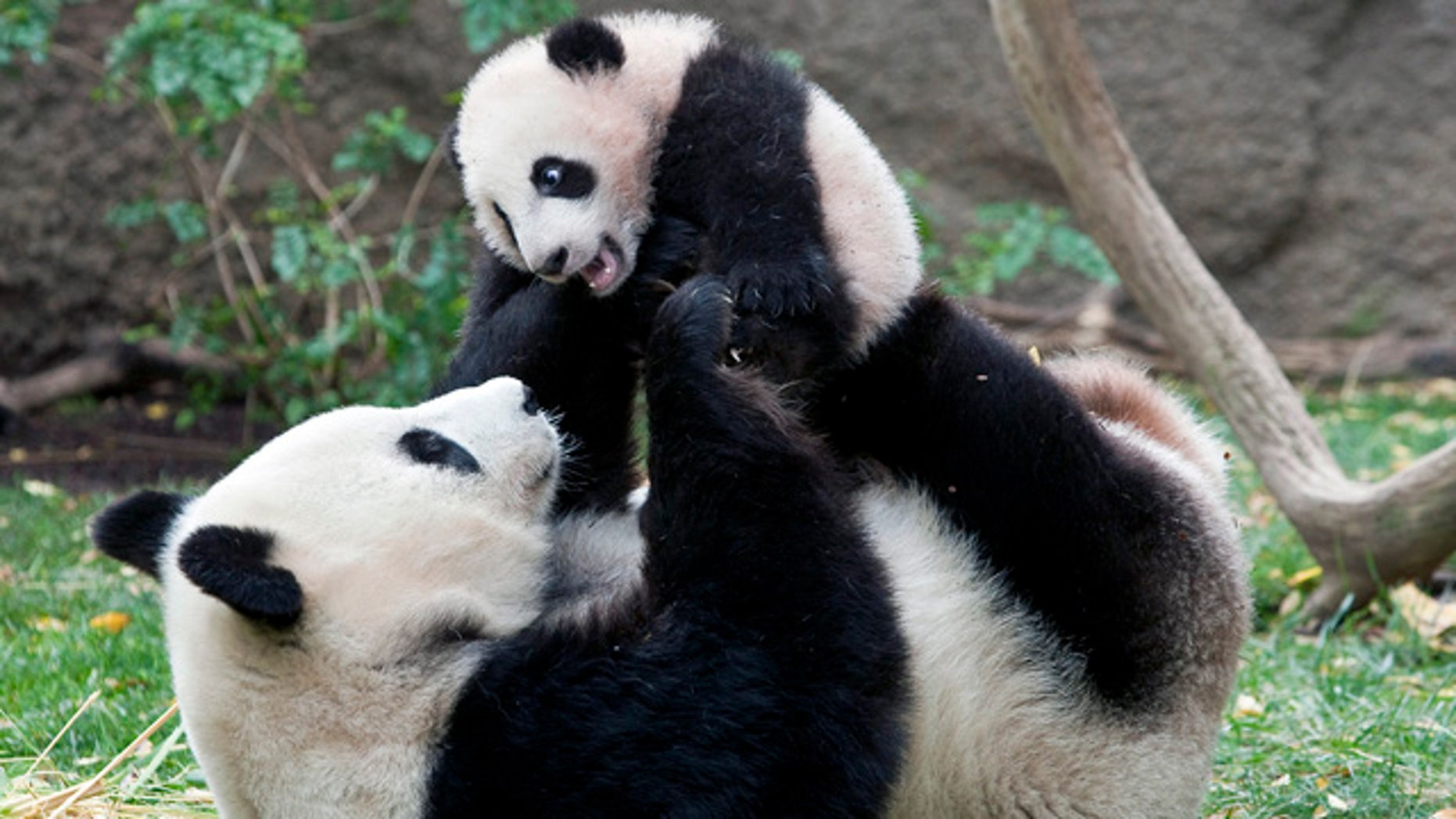 Giant Panda mom Bai Yun plays with her four-and-half-month old baby boy, Yun Zi, at their enclosure at the San Diego Zoo. Researchers say a decline in panda births is attributable to exhaustion.