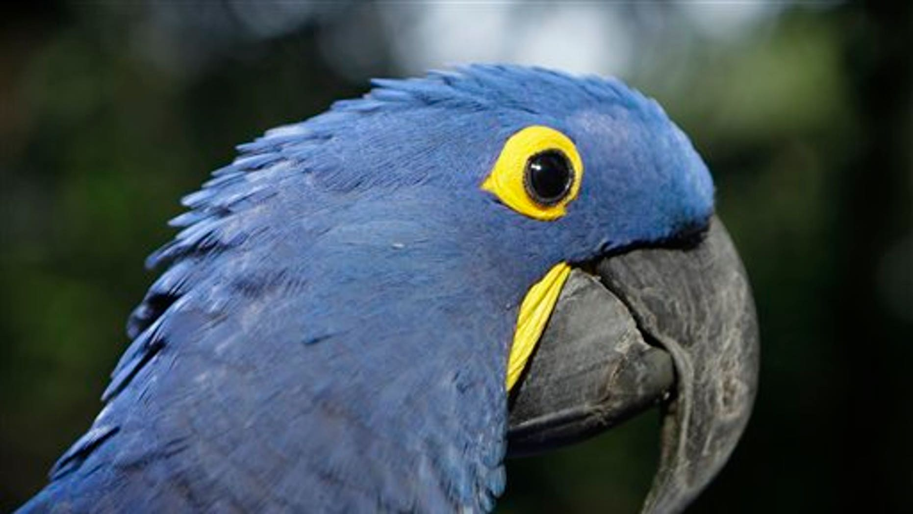 "May 24: Coco, a blue parrot, is perched on a branch at the zoo in Asuncion, Paraguay. Coco arrived at the zoo eight years ago when he was retrieved from a band of wildlife traffickers after their arrest. According to the zoo's vet, Coco has since learned to say ""hello,""and will start to dance at the sound of cumbia music. The veterinarian staff is looking for a partner for the endangered cobalt blue parrot.  (AP)"