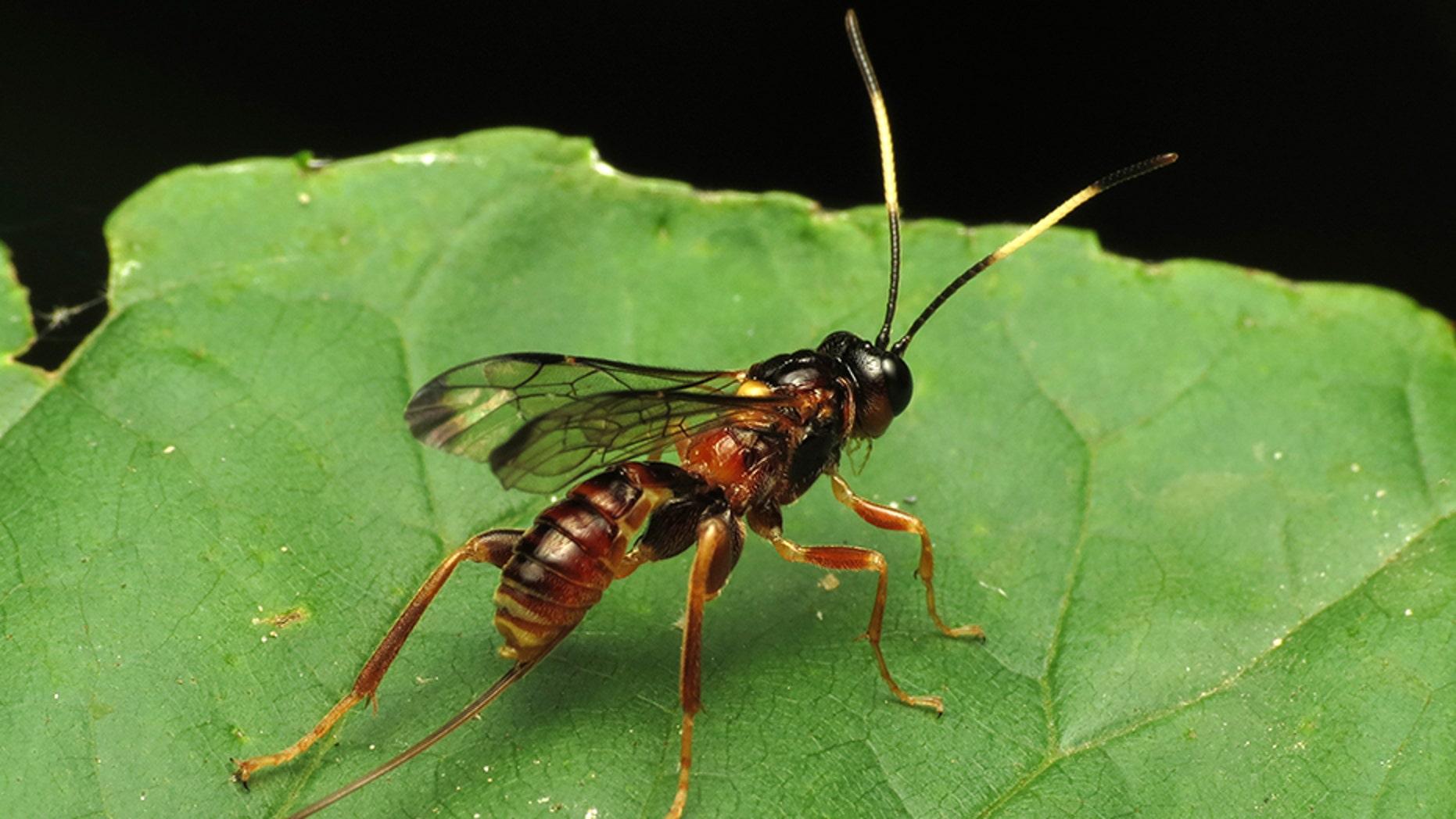 Parasitic wasp. (Credit: WikiMedia)