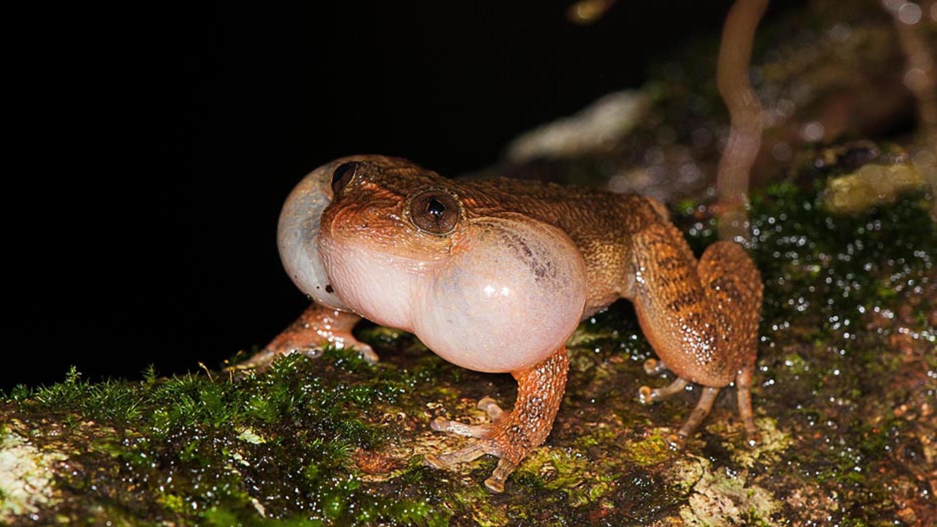 A male Bombay night frog calls from a fallen tree trunk.