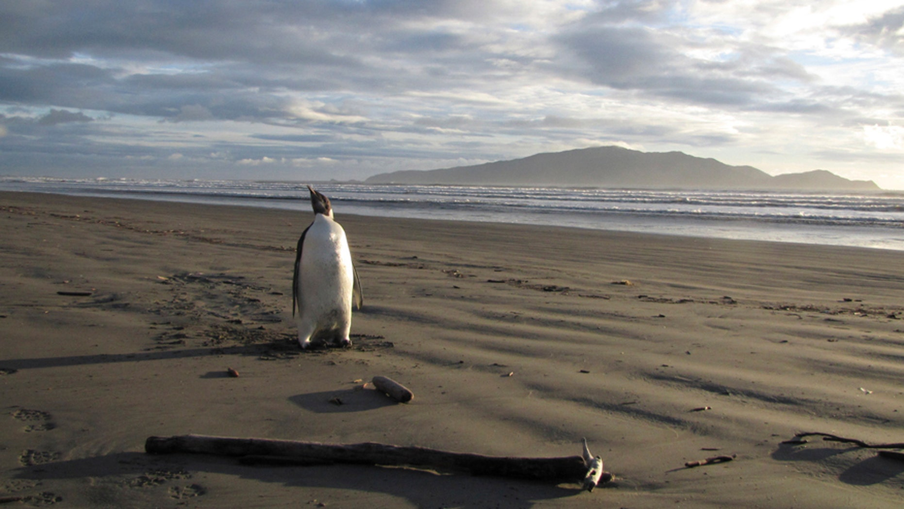 An Emperor Penguin stands on a beach on Kapiti coast June 20, 2011.