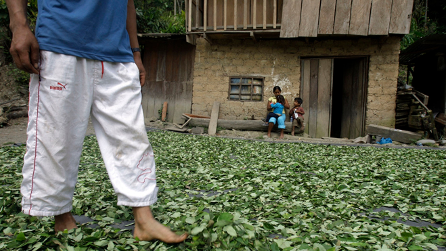 A coca farmer walks on drying coca leaves as his family looks on in Omaya in Peru's Apurimac valley.