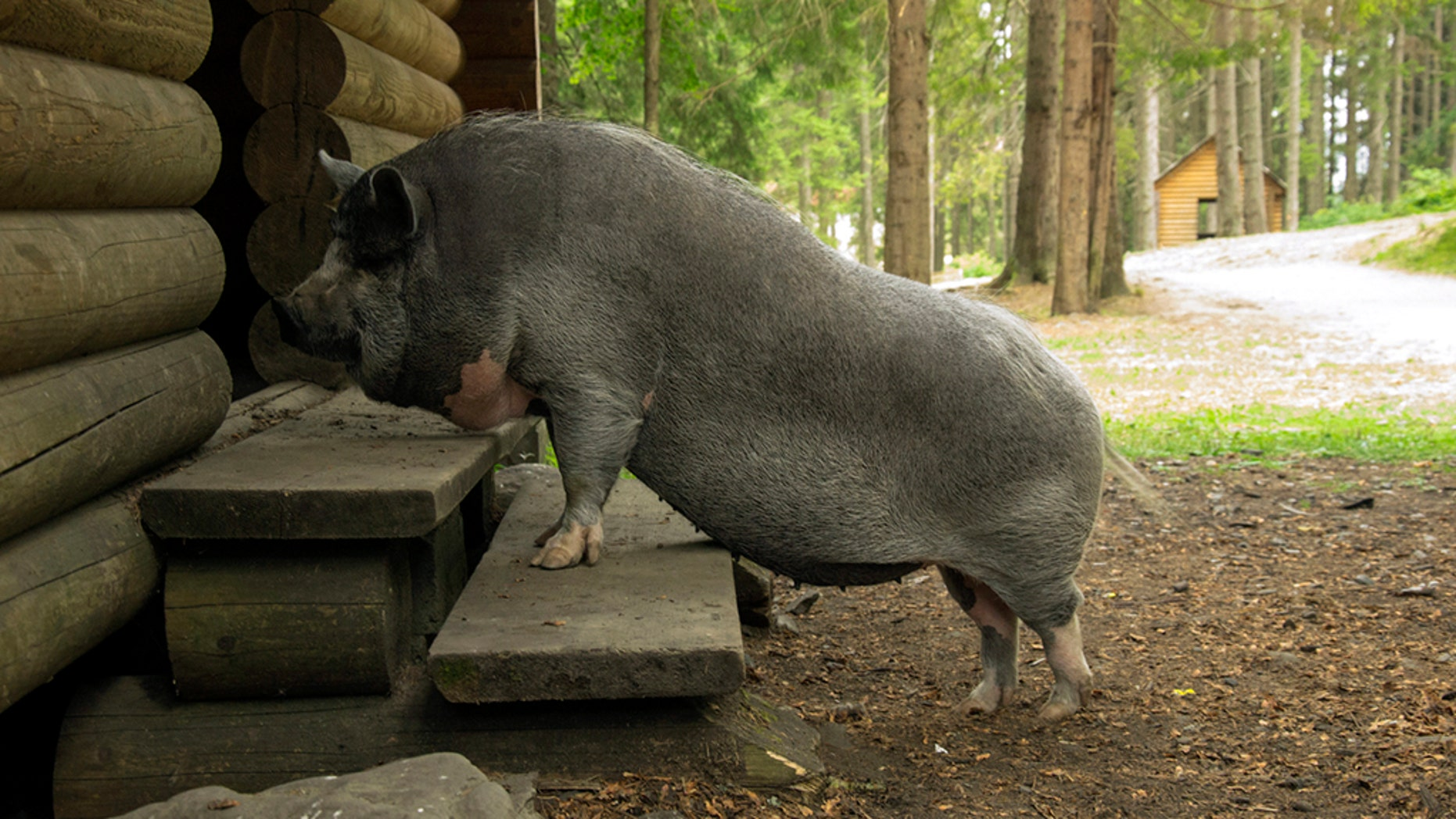 Police in Indiana believe a pet pig might've thwarted would-be robbers from burglarizing a home in Indianapolis.