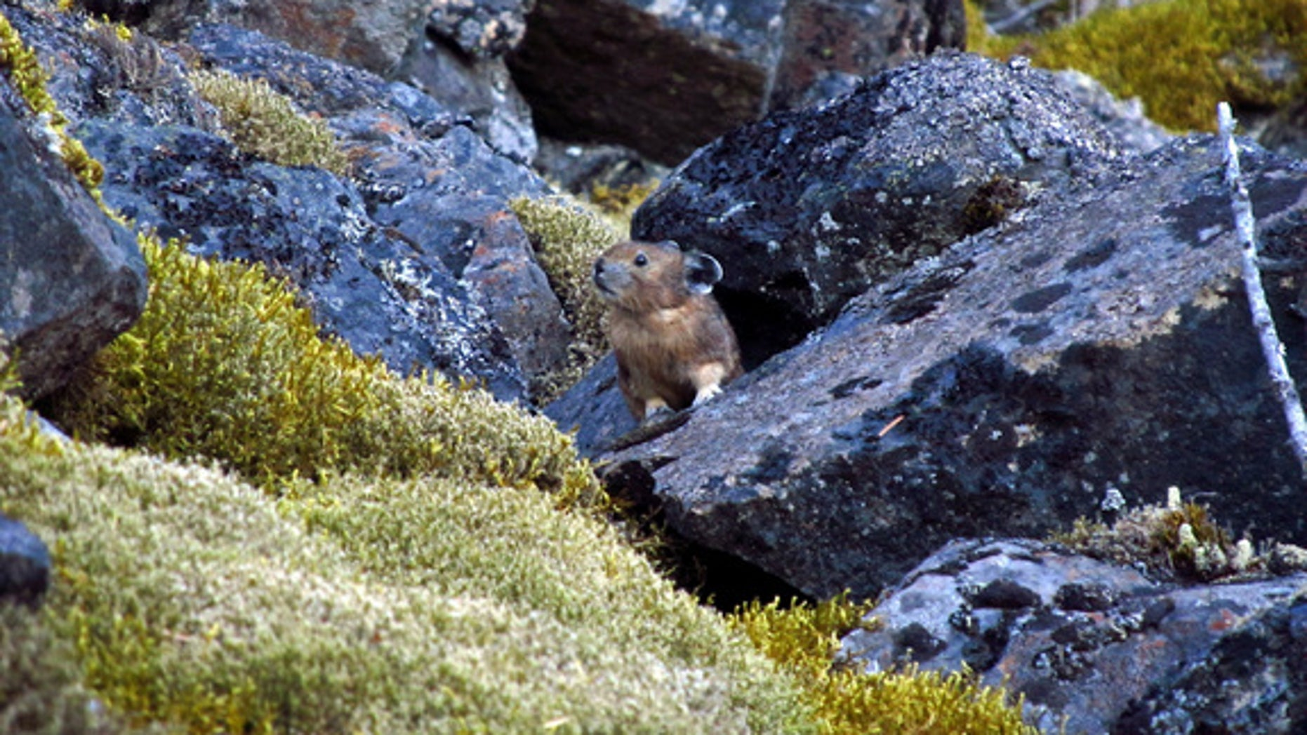 A pika in the Columbia River Gorge.