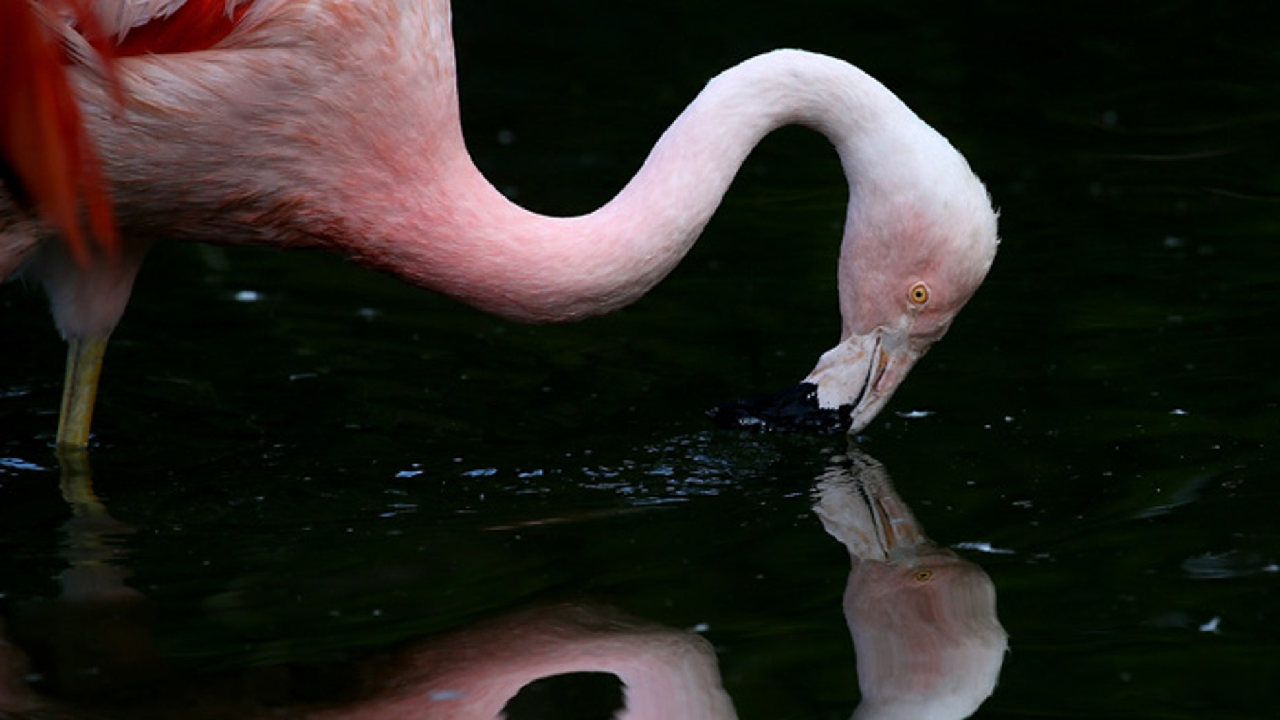 SAN FRANCISCO, CA - SEPTEMBER 25:  A Chilean Pink Flamingo stands in its enclosure at the San Francisco Zoo on September 25, 2014 in San Francisco, California. The San Francisco Zoo is welcoming four newborn Chilean Flamingo chicks to the Flamingo rookery.  (Photo by Justin Sullivan/Getty Images)
