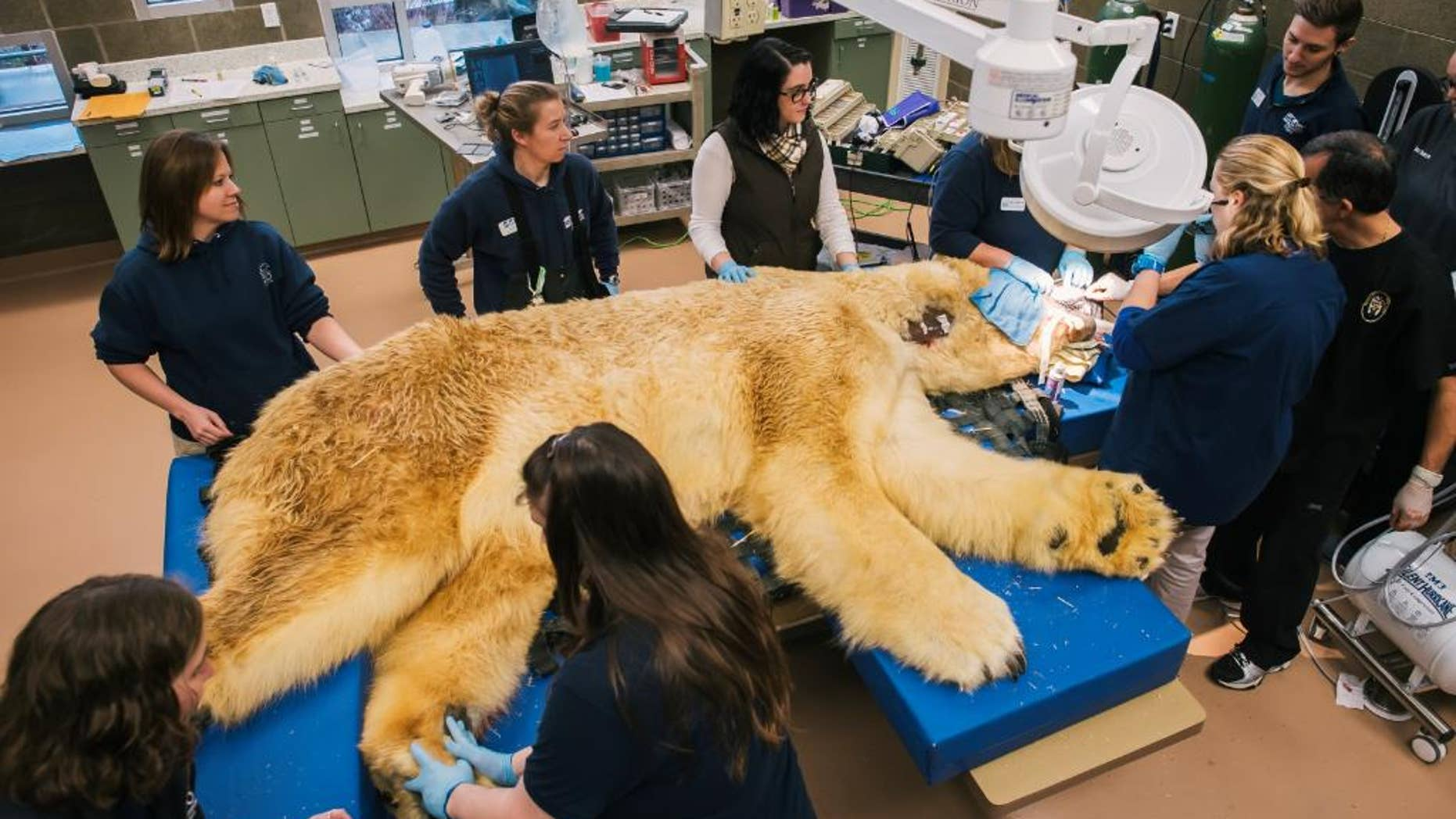 In this Friday, Feb., 6, 2015 photo, provided by the Point Defiance Zoo and Aquarium, veterinarians and support staff work to remove three broken or decayed teeth from a 29-year-old polar bear at the Point Defiance Zoo and Aquarium in Tacoma, Wash. The 880-pound bear, called Boris, is one of the oldest polar bears in North American zoos and has lived nearly twice as long as polar bears in the wild. (AP Photo/Point Defiance Zoo and Aquarium, Ingrid Barrentine)