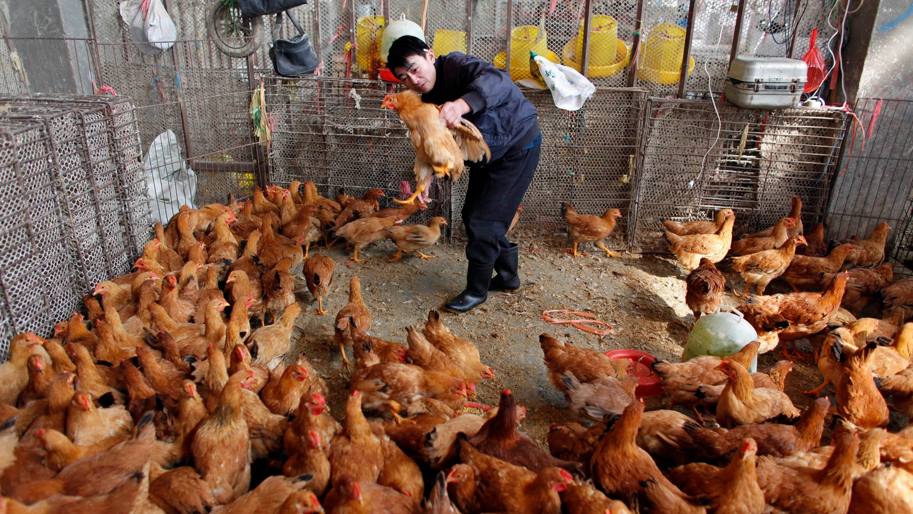 A worker checks a chicken as he collects it for a customer at a poultry market in Shanghai.