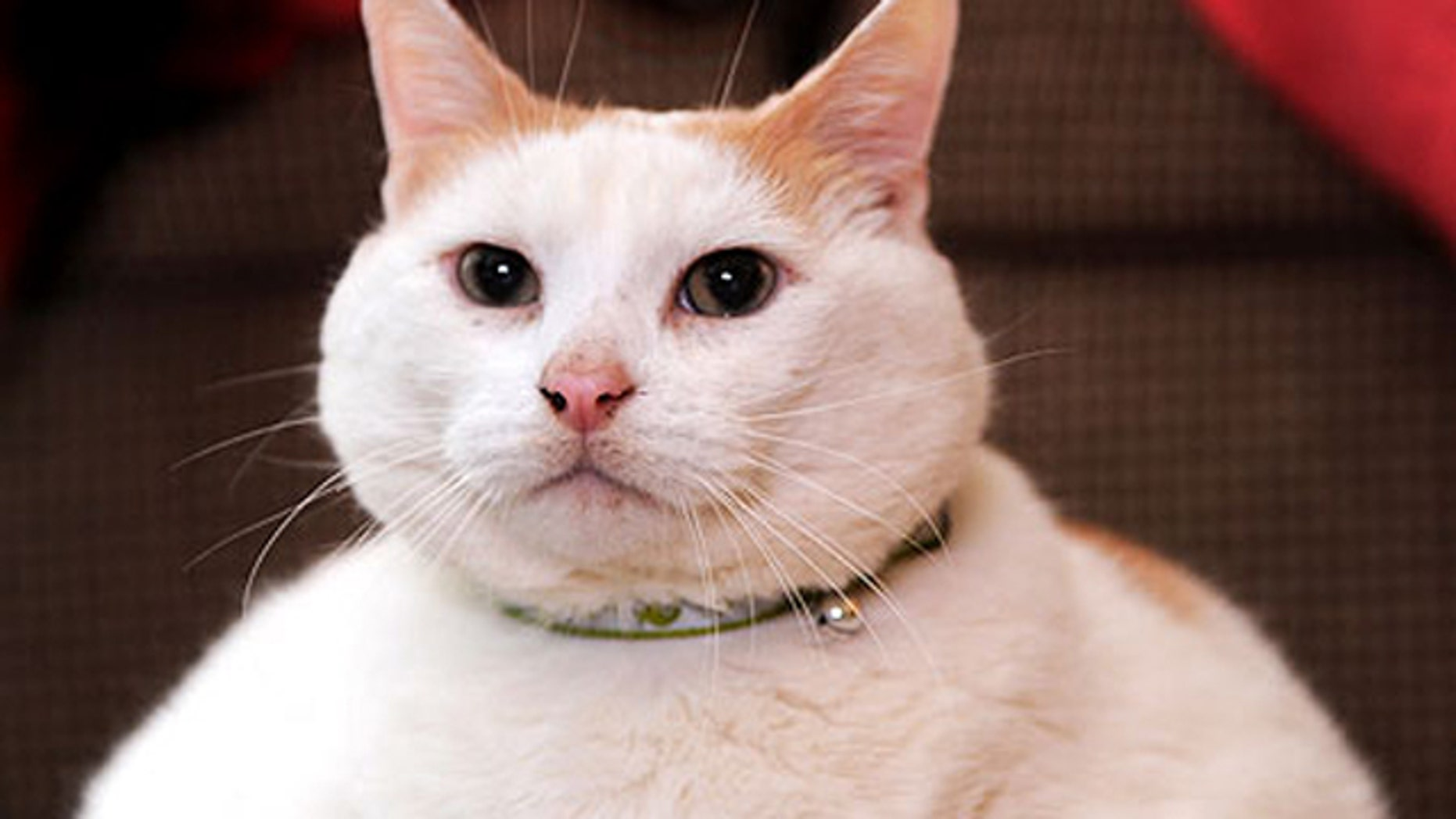 The fat cat named 'Prince Chunk' weighed in at a whopping 44 lbs., just shy of a world record.