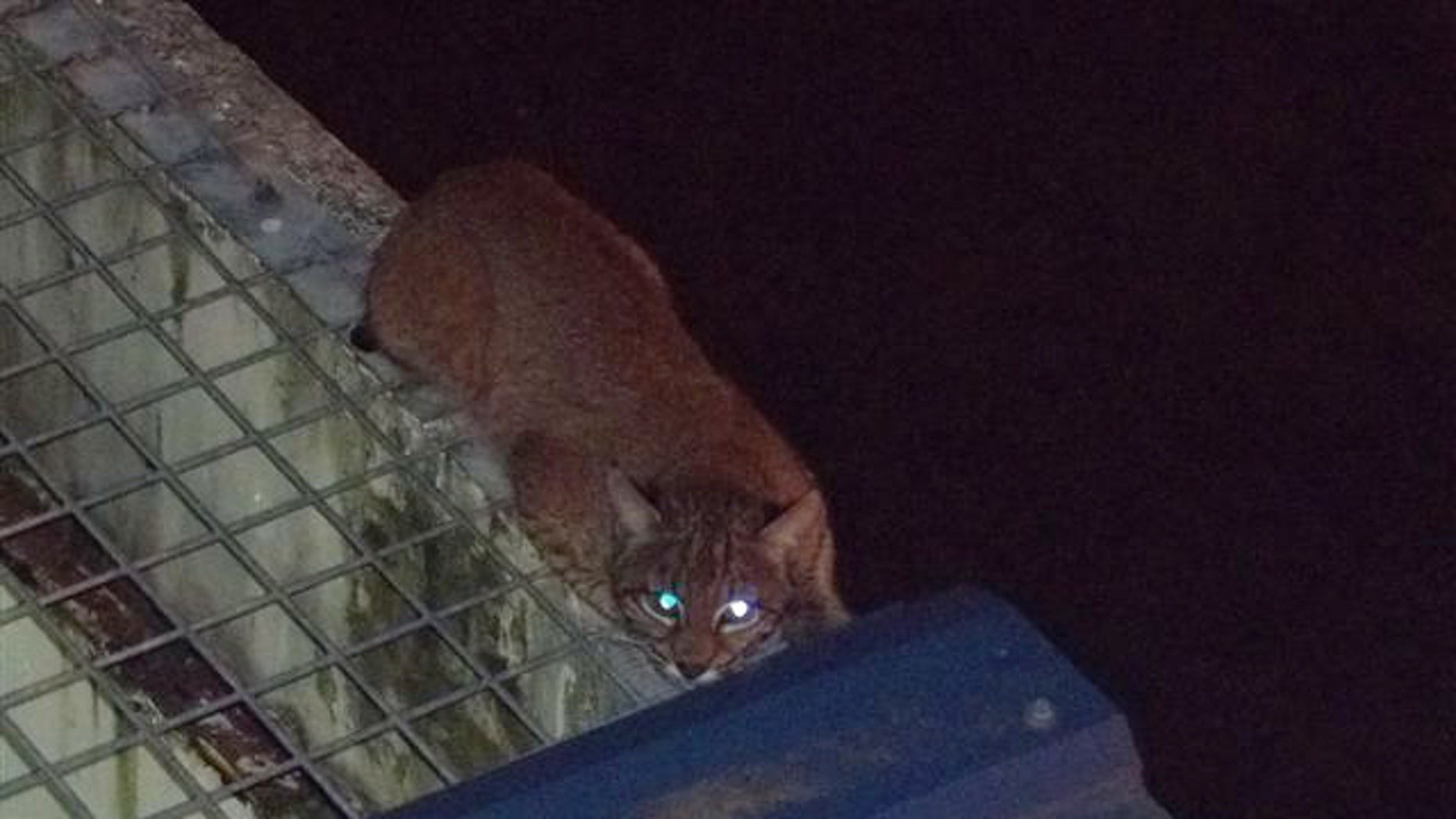 July 17- Photo provided by Washington State Department of Corrections shows a bobcat outside on the roof of Monroe Correctional Complex in Monroe, Wash.
