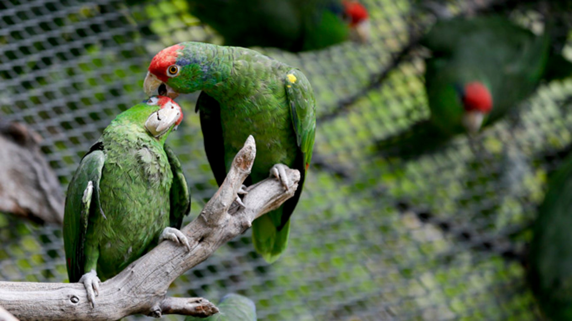 In this Wednesday, March 30, 2016 photo, parrots interact at SoCal Parrot, a parrot-rescue center, in Jamul, Calif. U.S. researchers are launching studies on Mexicoâs red crowned parrot  - a species that has been adapting so well to living in cities in California and Texas after escaping from the pet trade that the population may now rival that in its native country. (AP Photo/Gregory Bull)