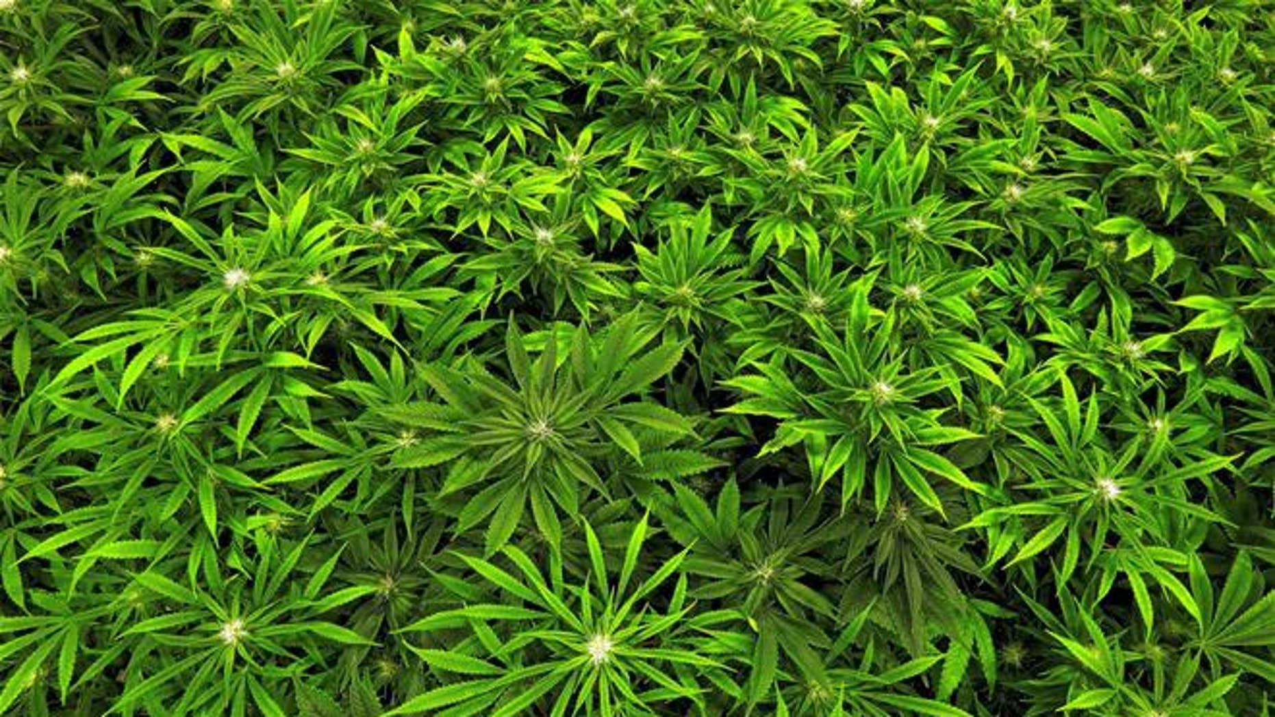 Marijuana grows at a medical marijuana cultivation center in Illinois.