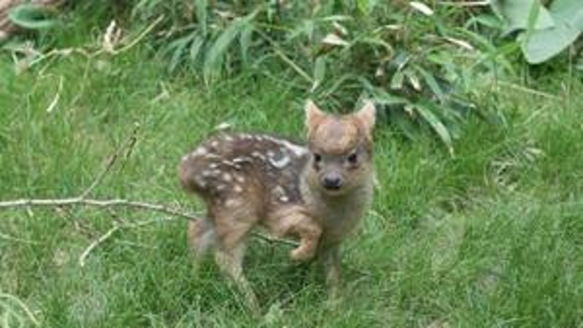 The as-yet unnamed male fawn was born May 12.