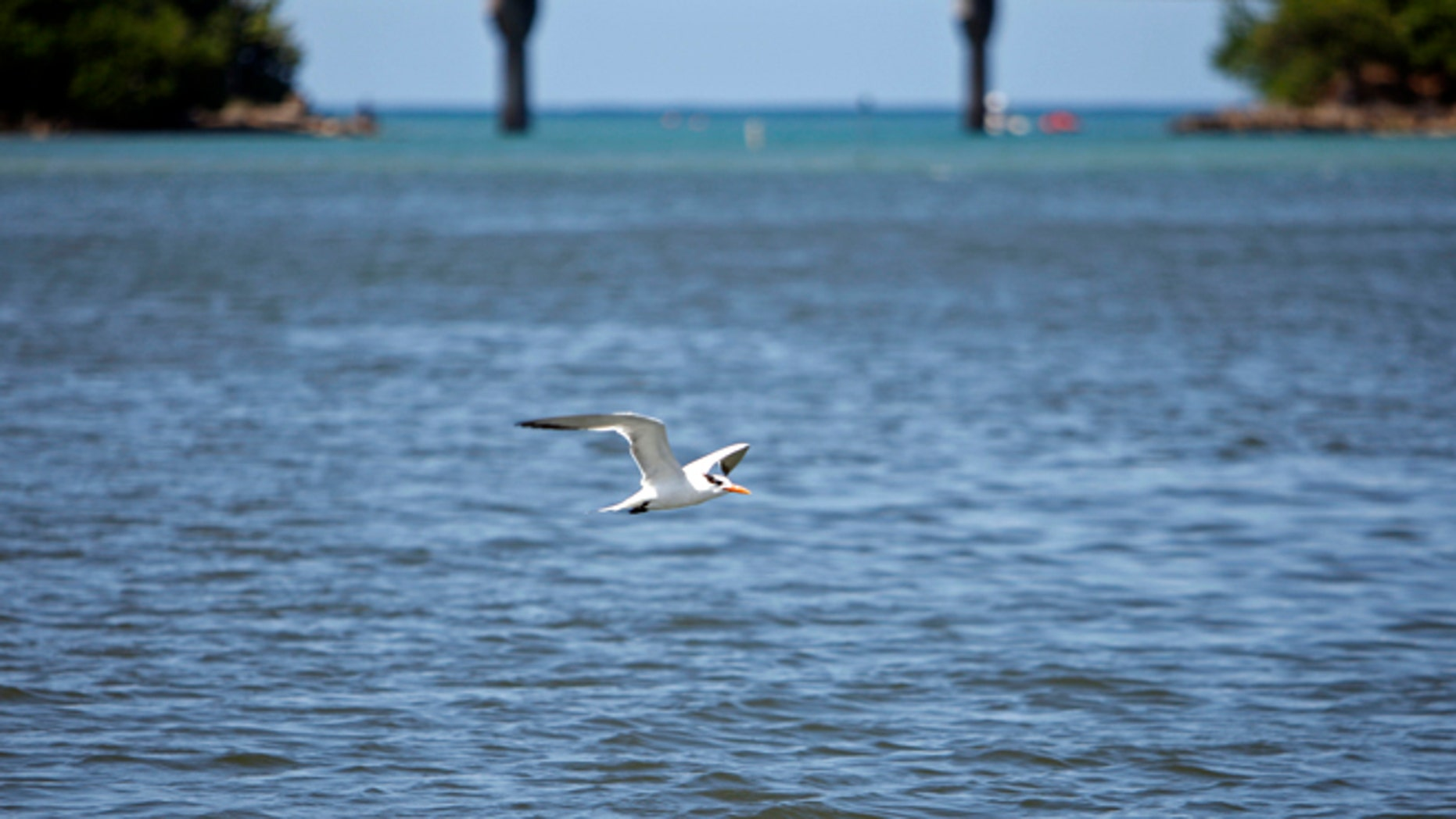 In this Oct. 26, 2013 photo, a bird flies over the San Juan Bay Estuary in San Juan, Puerto Rico. The estuary is surrounded by a maze of dark-green mangroves that offer shelter and shade to dozens of bird species. Across the open waters, pelicans swoop down for prey and people still catch fish and crab, despite health warnings due to contamination. (AP Photo/Ricardo Arduengo)