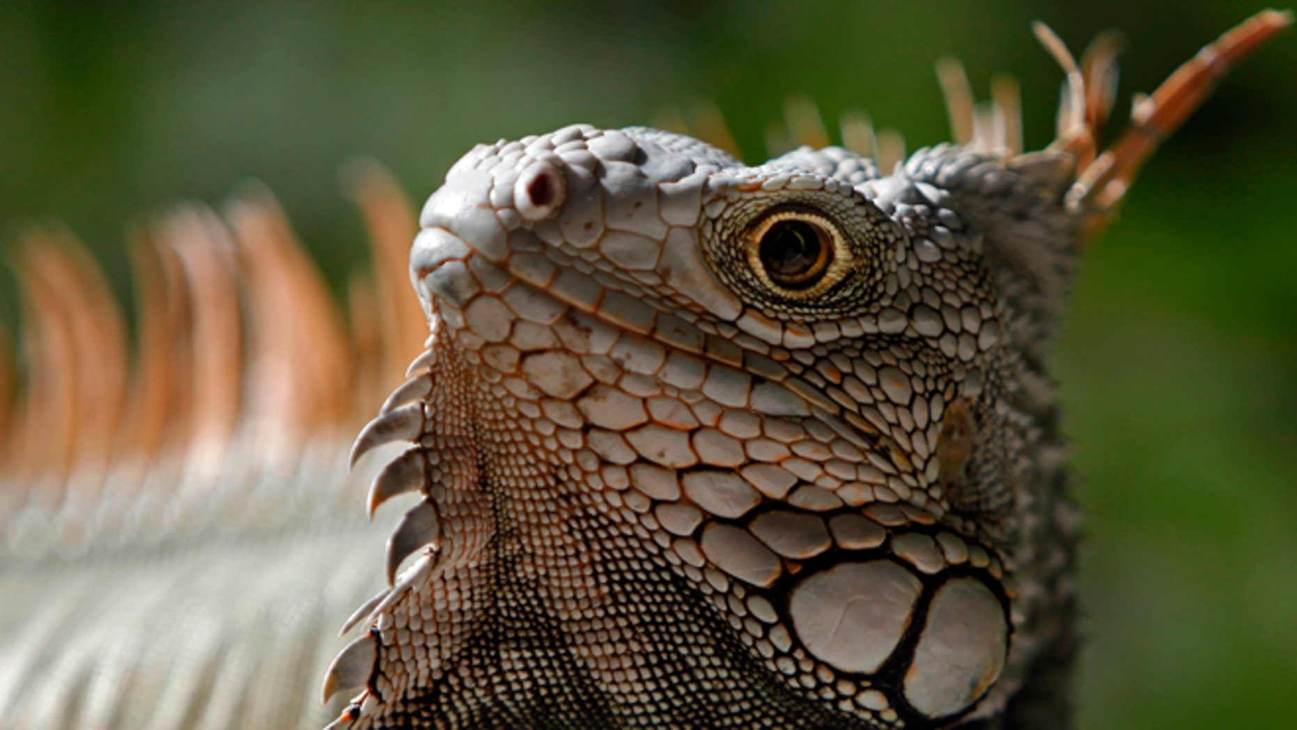 In this Saturday, Dec. 13, 2014 photo, a green Iguana basks in the protected area of Cabezas de San Juan in Fajardo, Puerto Rico. The Cabezas de San Juan nature reserve has seven distinct coastal ecosystems and one of the few bioluminescent bays in the world. (AP Photo/Ricardo Arduengo)