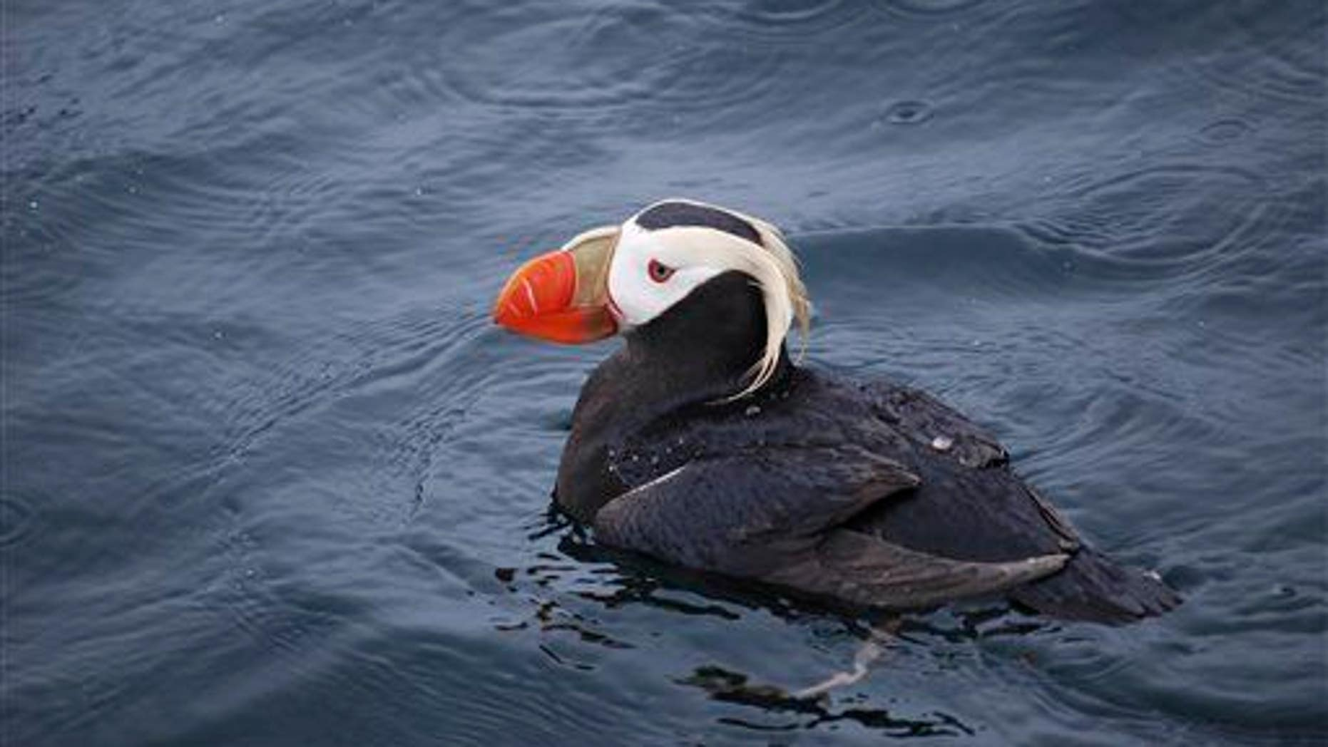 A tufted puffin in Alaska in 2012.