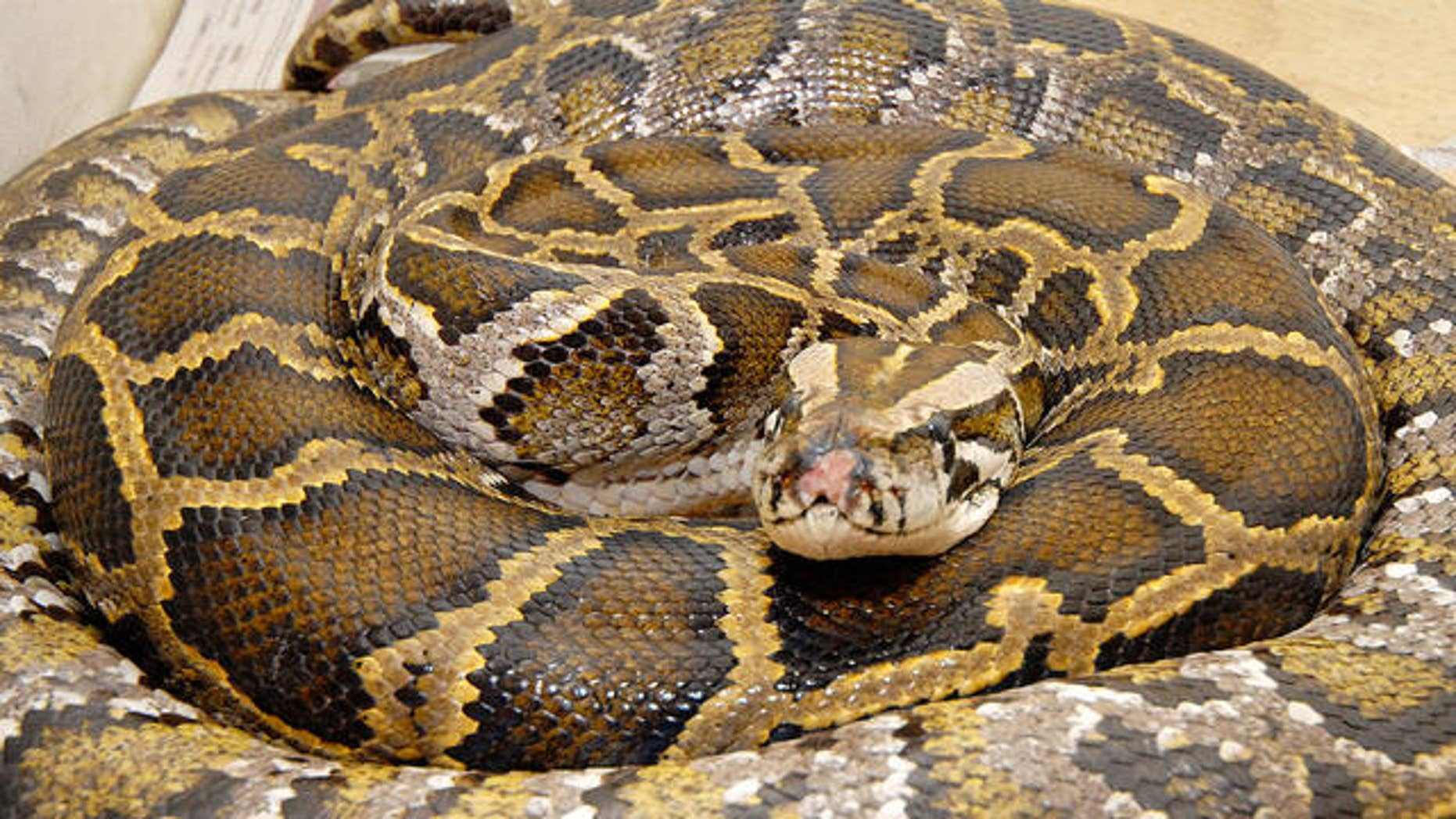 FILE photo of 12-foot Burmese python.