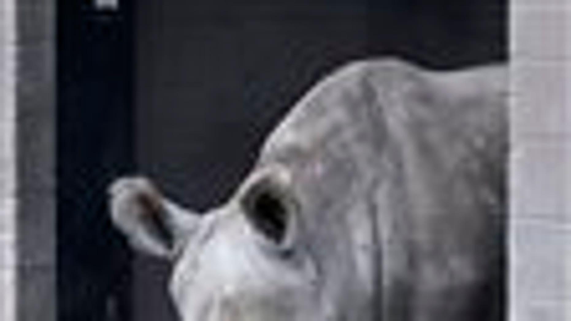 This Dec. 31, 2014, file photo shows Nola, a northern white rhinoceros, in her enclosure at the San Diego Zoo Safari Park in Escondido, Calif. (AP Photo/Lenny Ignelzi, File)