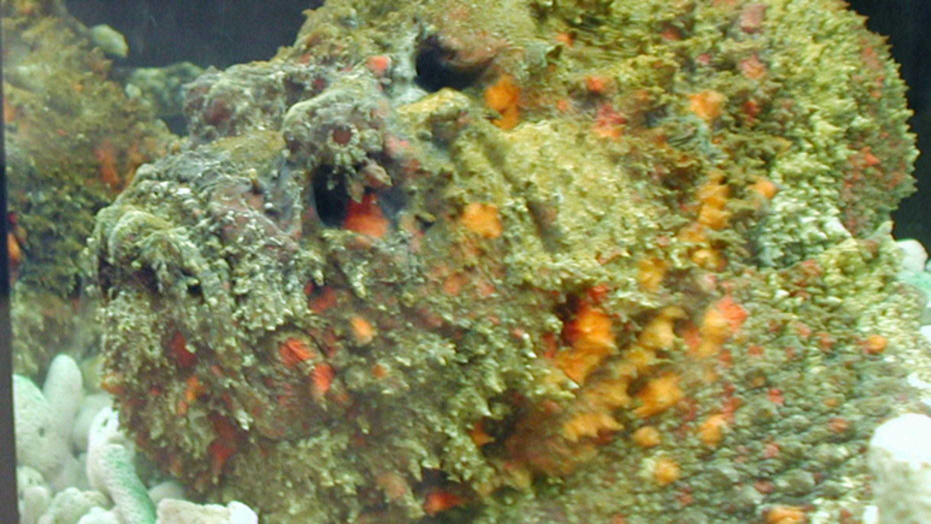 The stonefish's body is designed to camouflage itself against natural predators. It is able to camoflauge itself so well that swimmers may not notice them and step on them causing them to sting the unfortunate swimmer with a deadly venom.