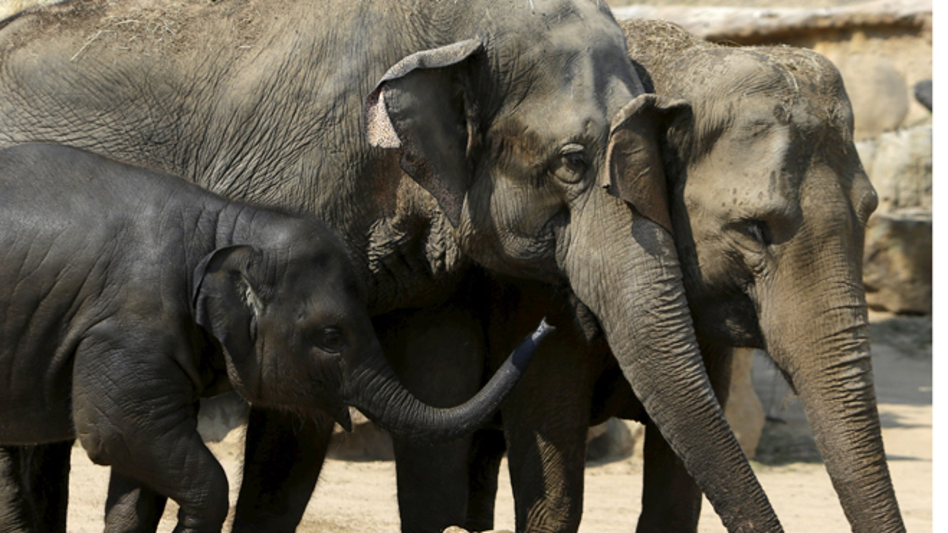 Aug. 12, 2015: Indian elephants stand in their enclosure during a hot summer day at Prague Zoo, Czech Republic.