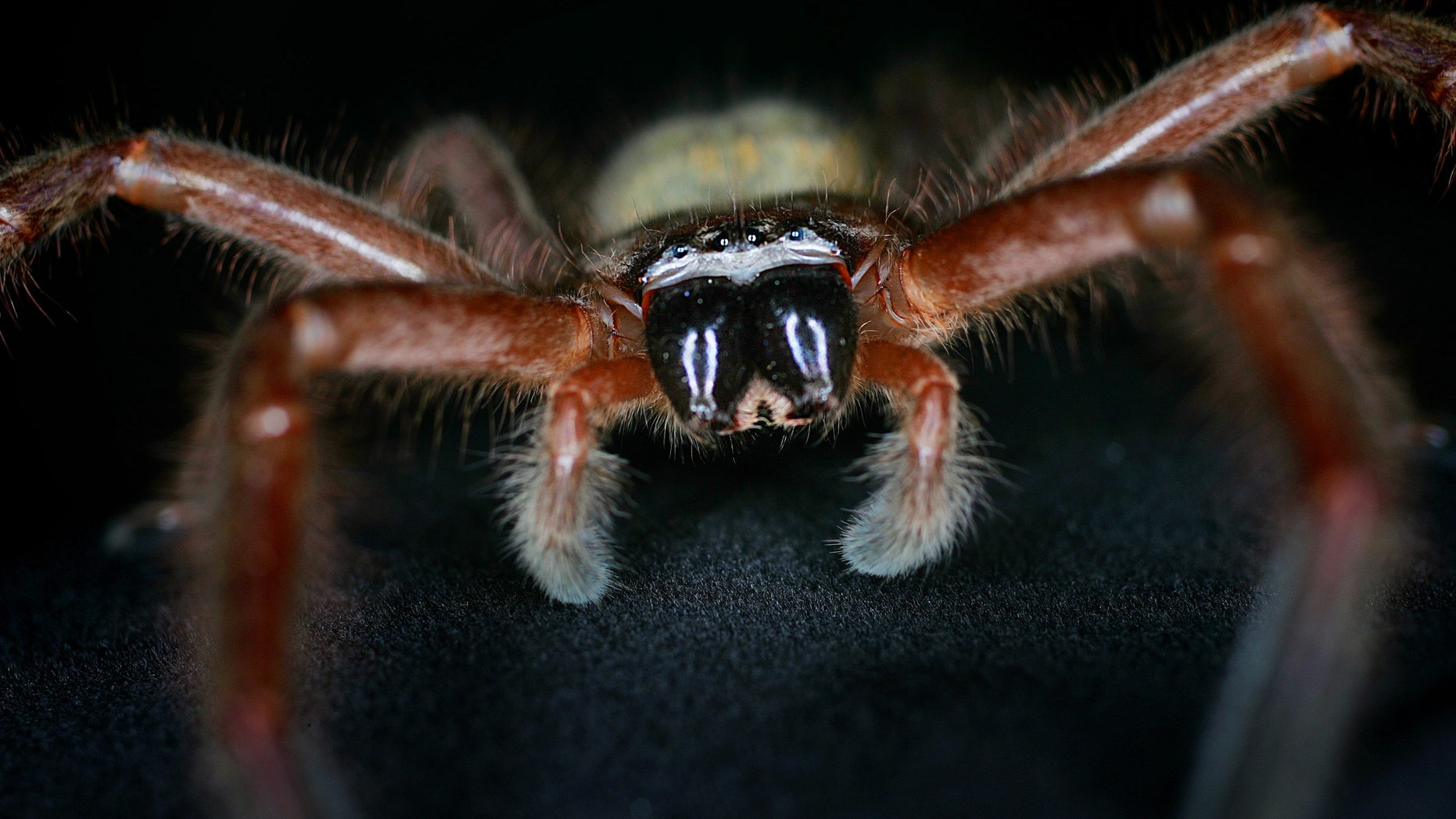 September 14, 2005 - FILE photo of a female Communal Huntsman spider  at Sydney's Taronga Zoo . Found very commonly outdoors, these native Australian spiders become more active in spring, as temperatures rise and their favored prey becomes more available.