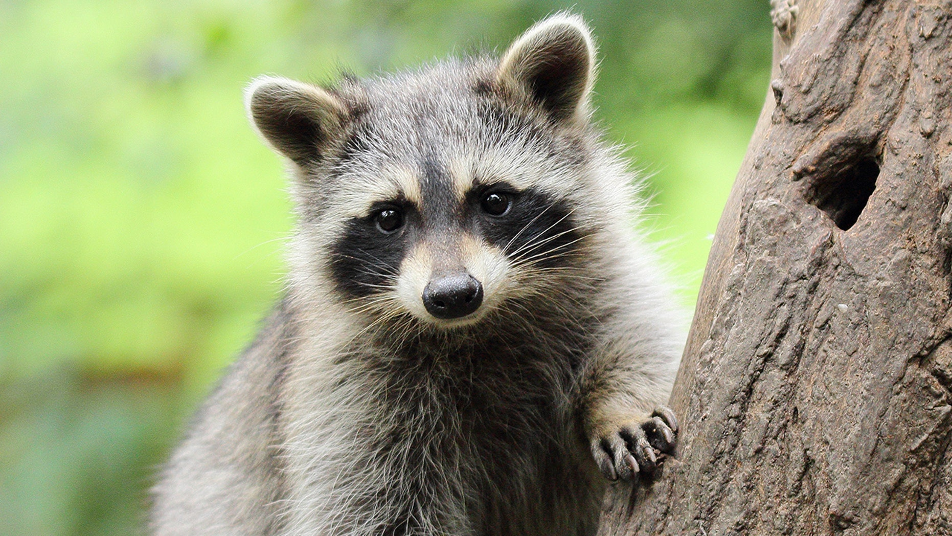A Florida man set a raccoon on fire after the animal ate his mangoes.
