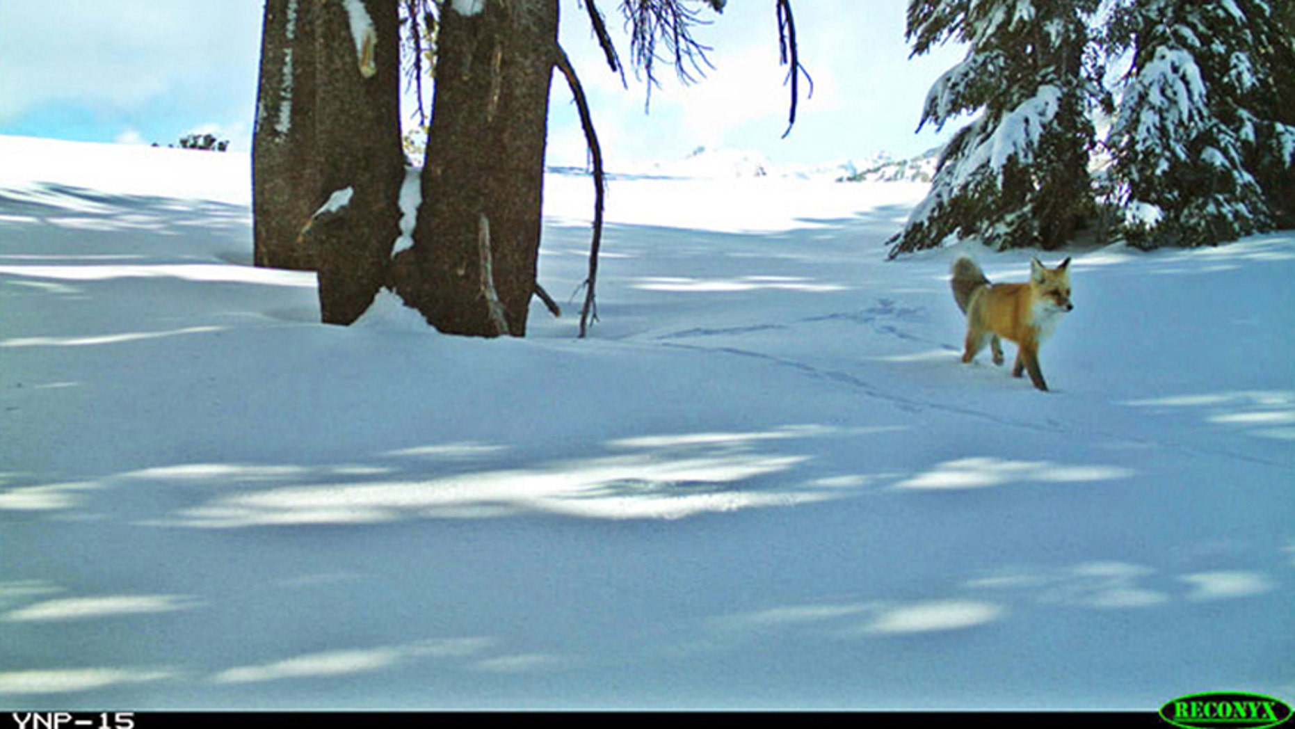A Sierra Nevada red fox is shown in this handout photo taken with remote motion-sensitive camera provided by the National Park Service at Yosemite National Park, California, and provided on Jan. 29, 2015.