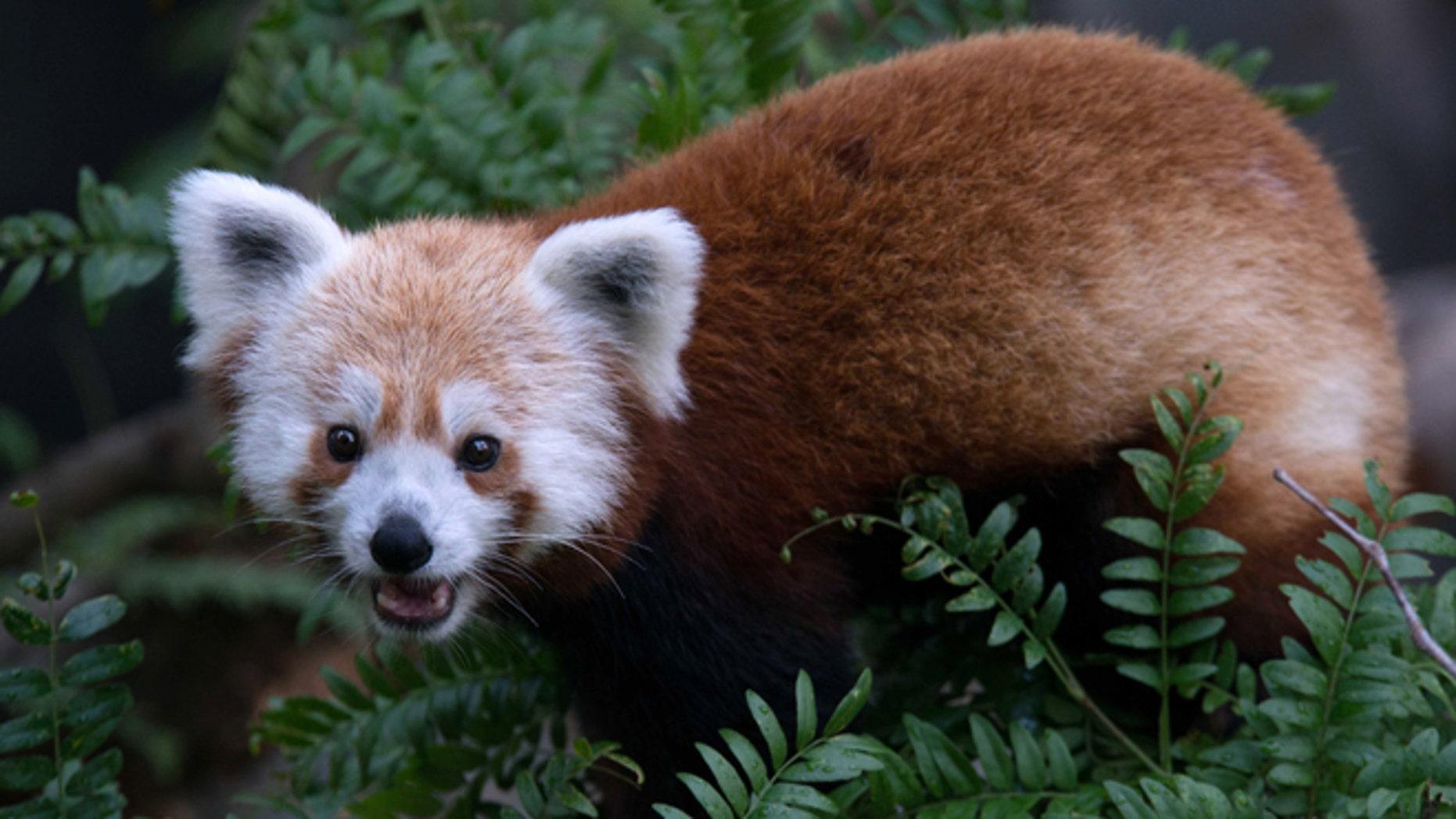 This undated handout photo provided by the National Zoo shows a red panda that escaped from its enclosure at the zoo in Washington in June 2013 and was later found in a nearby neighborhood.