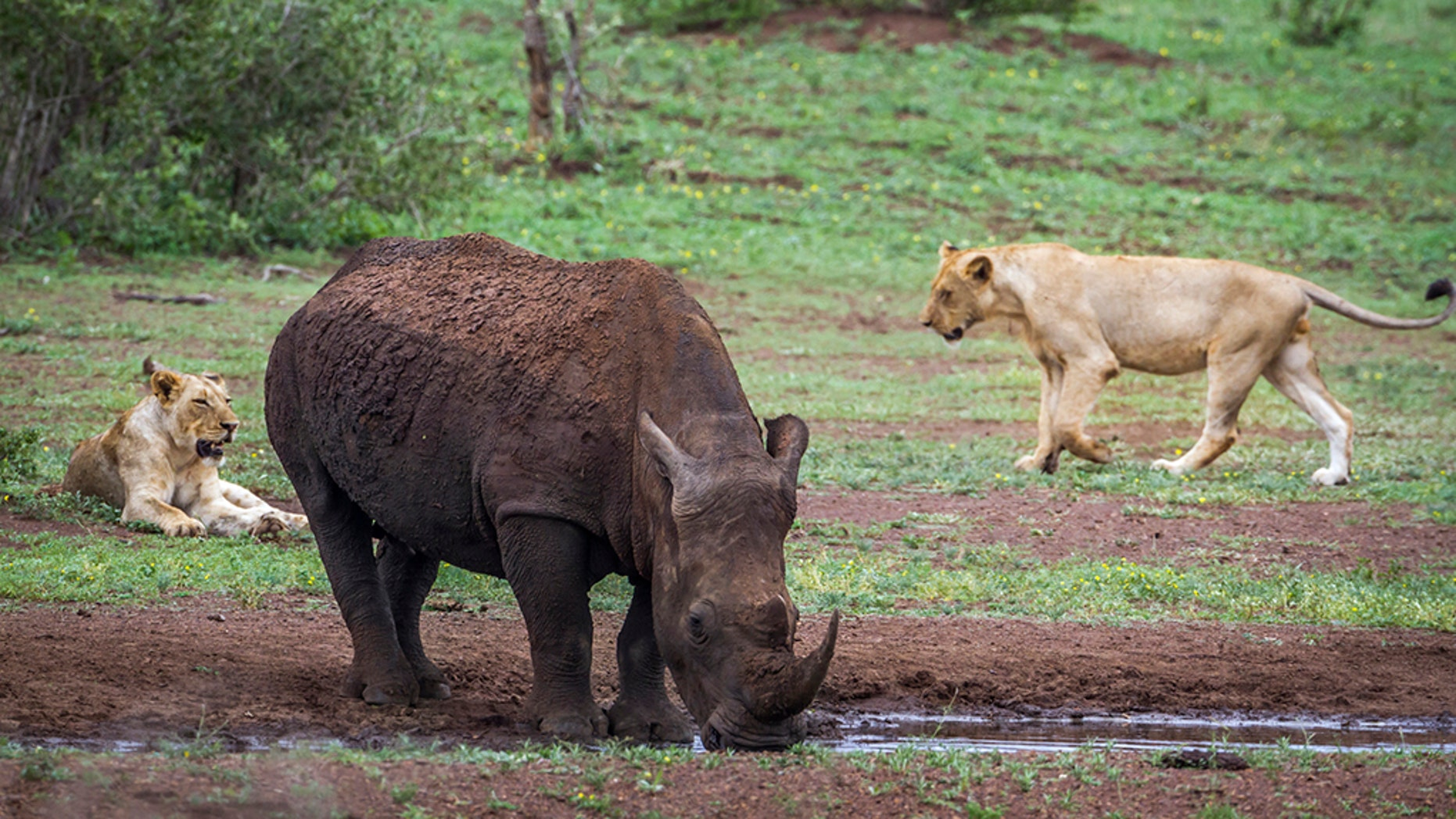 Rangers discovered human remains believed to belong to at least three poachers suspected of breaking into the Sibuya Game Reserve only to be mauled to death by a pride of lions