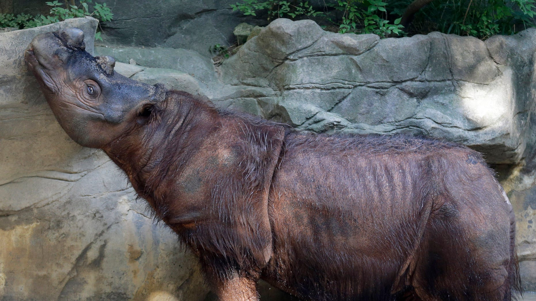 In this Wednesday, July 17, 2013 photo, Harapan, a male Sumatran rhino, sniffs the air, at the Cincinnati Zoo in Cincinnati. His sister, Suci, is kept in an area next to his. With the global population of Sumatran rhinos plunging at an alarming rate, Cincinnati Zoo experts who have some success with captive breeding are trying something they admit is a desperation effort _ bringing back the brother of a female rhino in hopes they will mate. (AP Photo/Al Behrman)