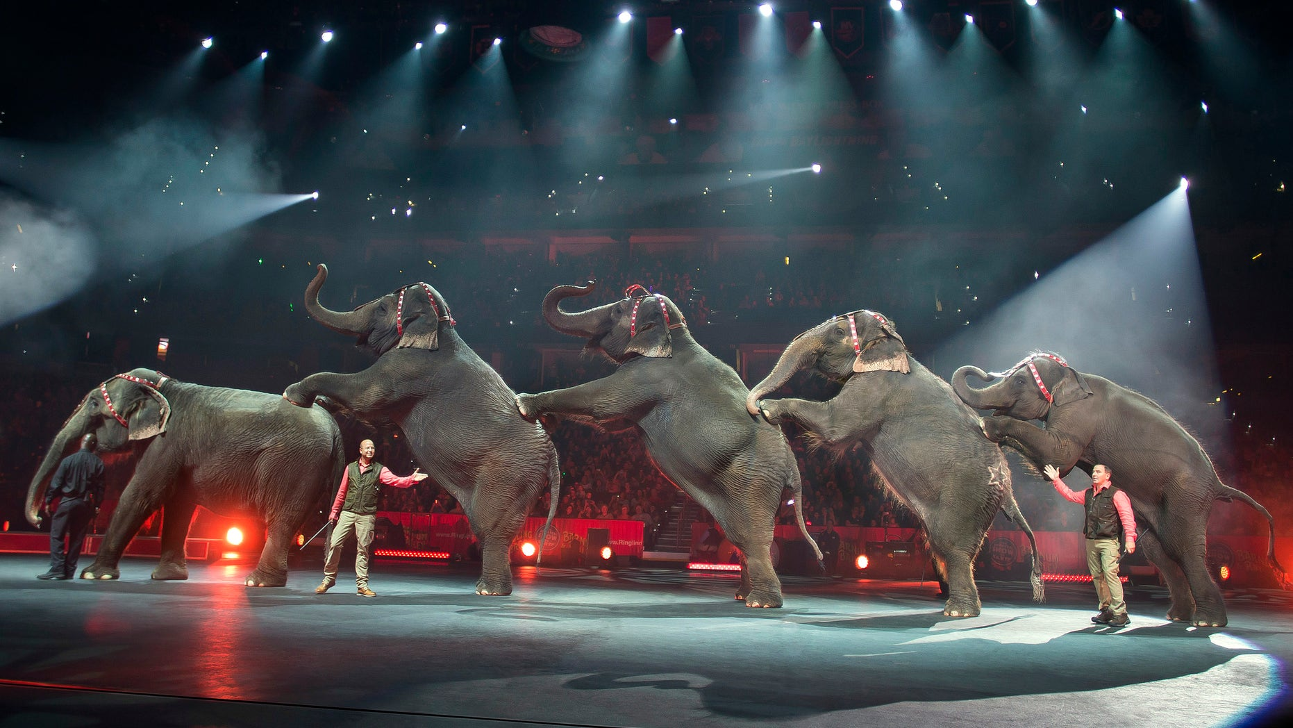 In this Jan. 3, 2015 photo provided by Feld Entertainment Inc., elephants perform at the Ringling Bros. and Barnum & Bailey Circus, at the Amalie Arena in Tampa, Fla. The Ringling Bros. and Barnum & Bailey Circus said it will phase out its iconic elephant acts by 2018. (AP Photo/Feld Entertainment Inc., Gary Bogdon)