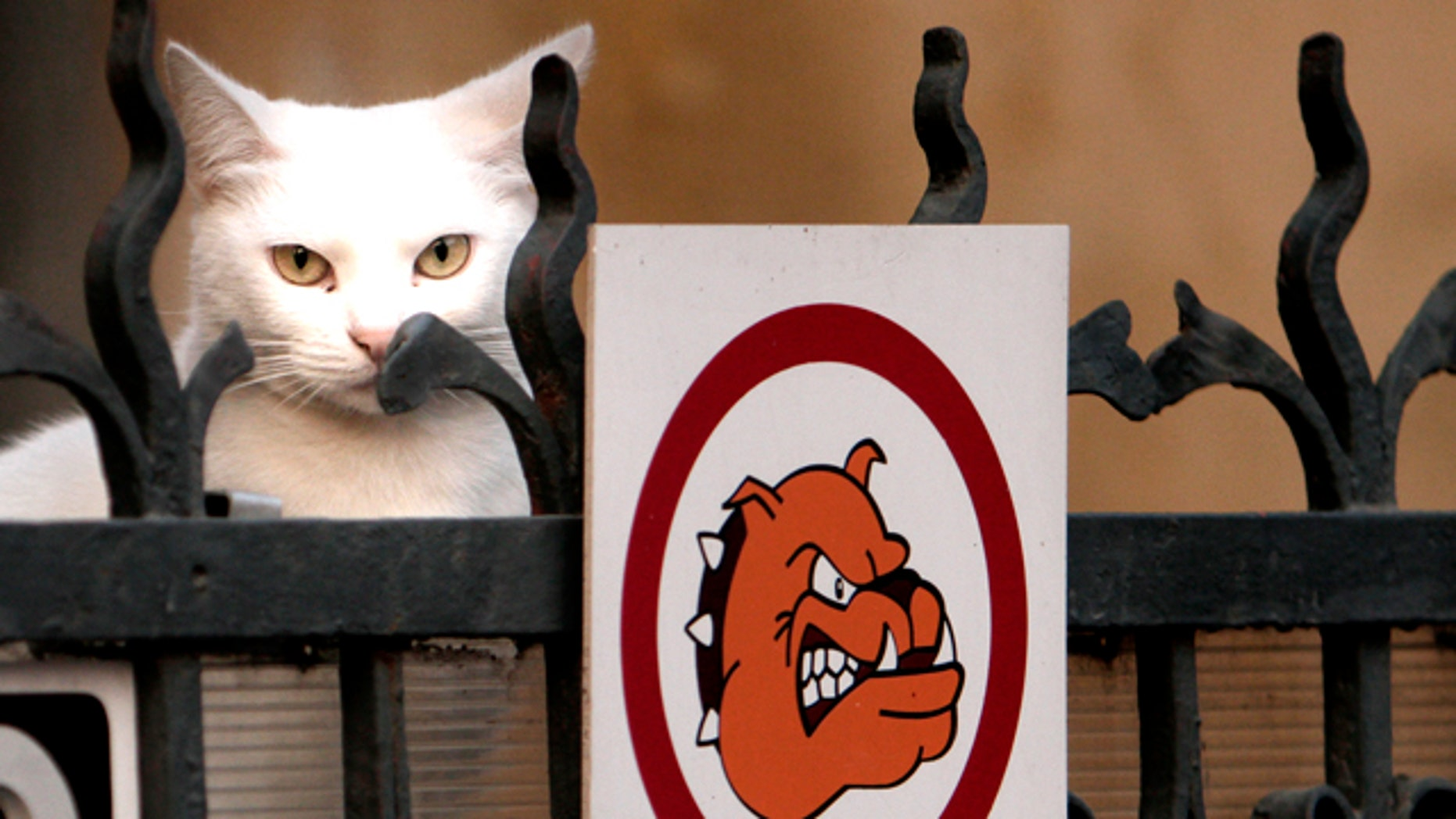 A cat peers from behind a fence carrying an aggressive dog warning sign at dusk in Bucharest, Romania, Tuesday, Nov. 16, 2010.