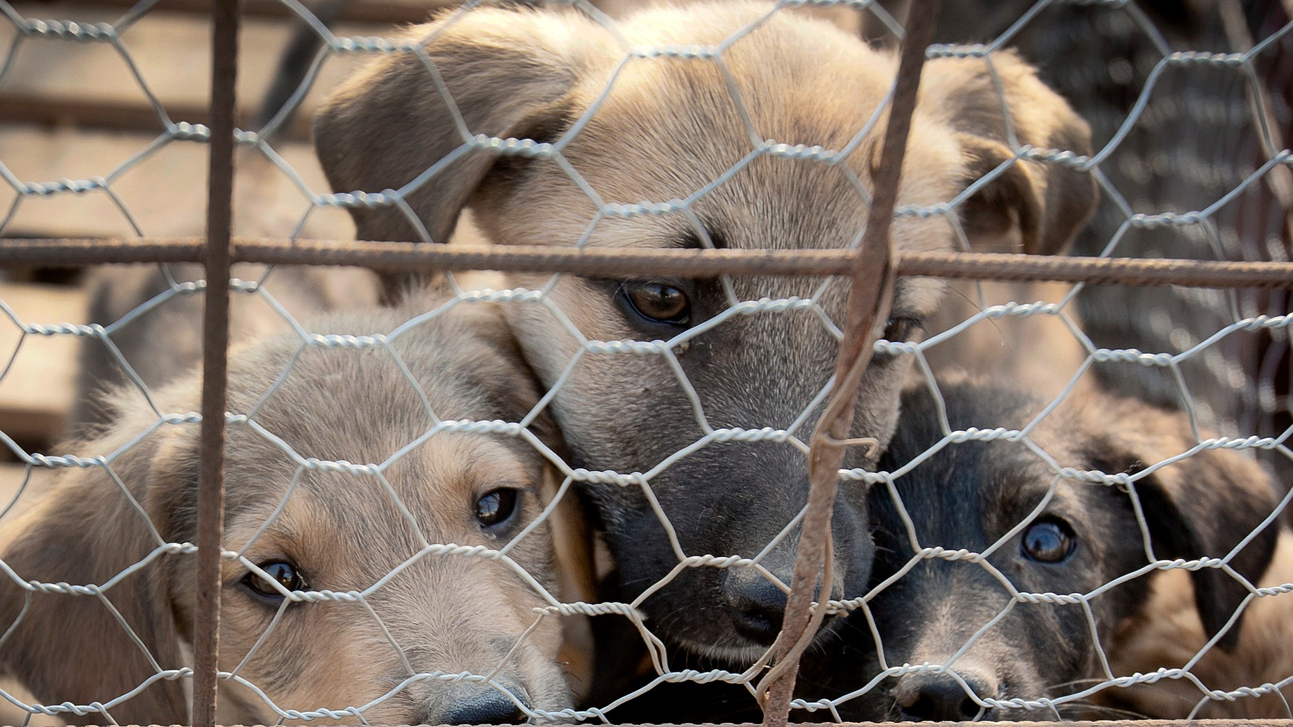 Sept. 26, 2011: Puppies look out from behind wire fencing in a stray dog shelter in Bucharest, Romania. Romania's parliament has voted to allow for thousands of stray dogs that roam the streets of the capital and elsewhere to be killed.