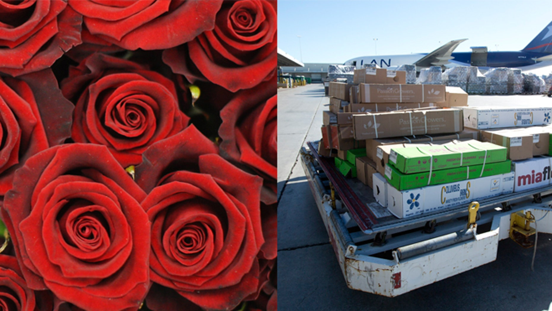 Roses (left) and on the right, in this Jan. 9, 2014 photo, a load of flowers is rushed to a cooling unit at the Miami International Airport.