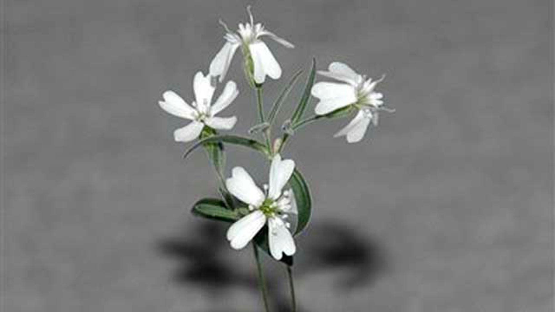 A Sylene stenophylla plant, which was regenerated from tissue of fossil fruit found in a squirrel burrow that had been stuck in Siberian permafrost for over 30,000 years. It is the oldest plant ever to be regenerated and it is fertile, producing white flowers and viable seeds.