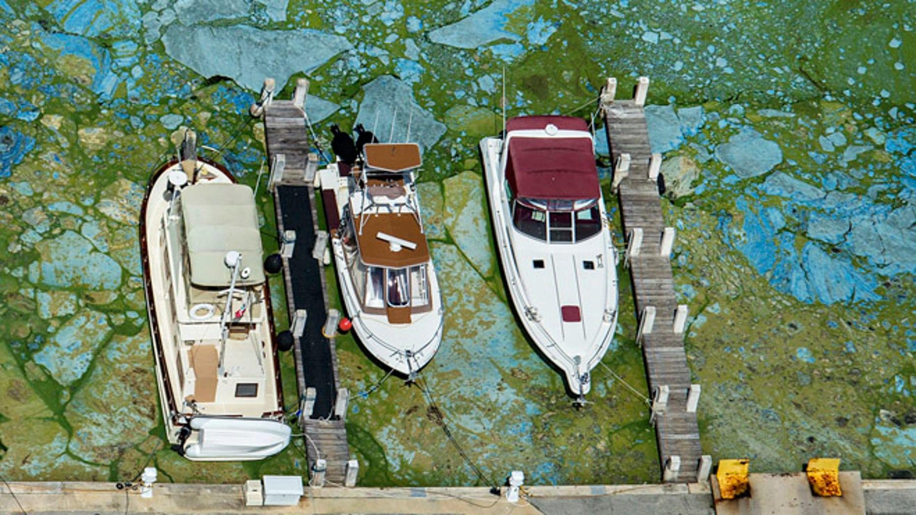 Varias embarcaciones amarradas en la Central Marine de Stuart, en Florida, aparecen rodeadas de algas verdosas el miércoles 29 de junio de 2016. (Greg Lovett/The Palm Beach Post via AP)