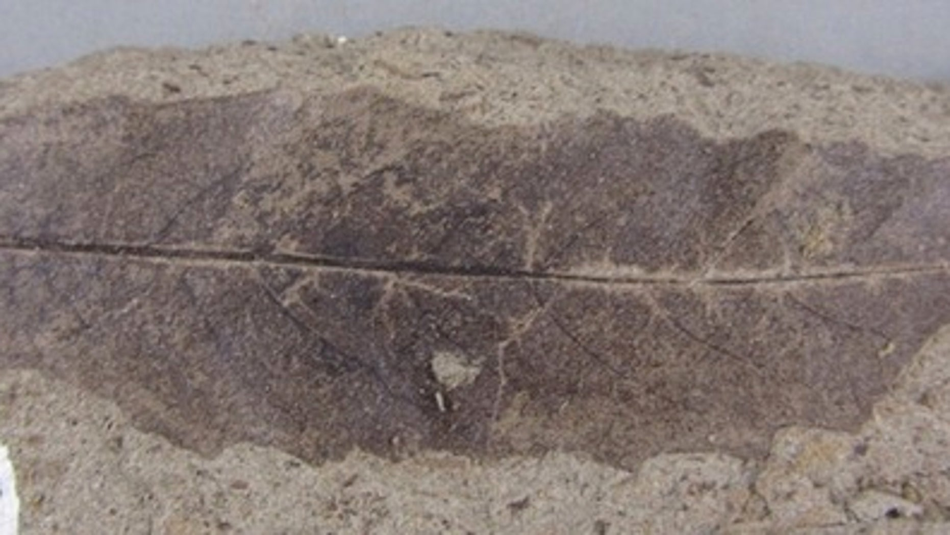 A fossil of a leaf from the Salix genus, which includes willows, found during the study of 66-million-year-old plants in Saskatchewan.