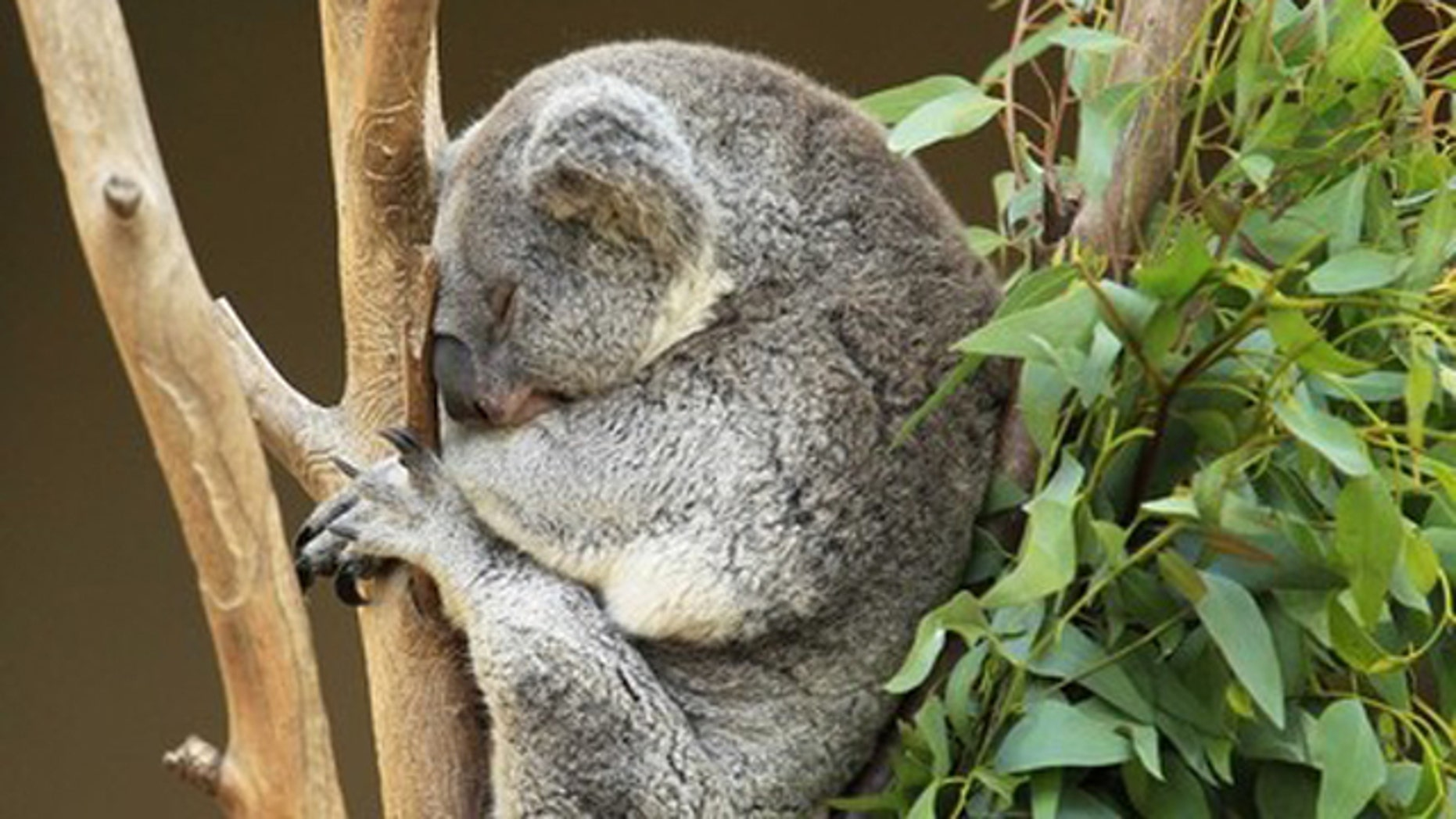 Sept. 23, 2011: A koala takes an afternoon nap in a tree at the San Diego Zoo, California.