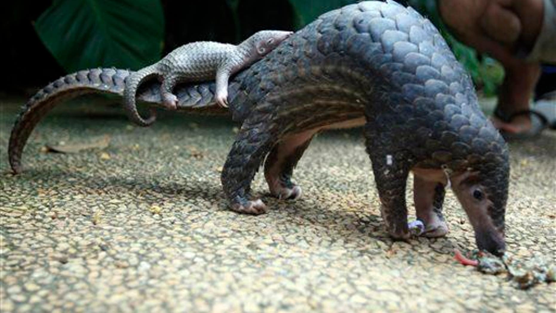 A pangolin carries its baby at a Bali zoo, Indonesia, Thursday, June 19, 2014.