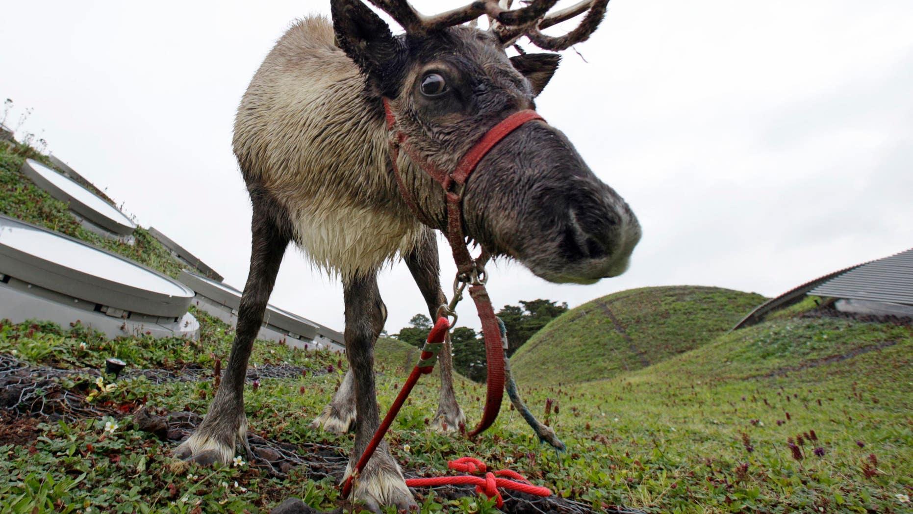 Not Rudolph.