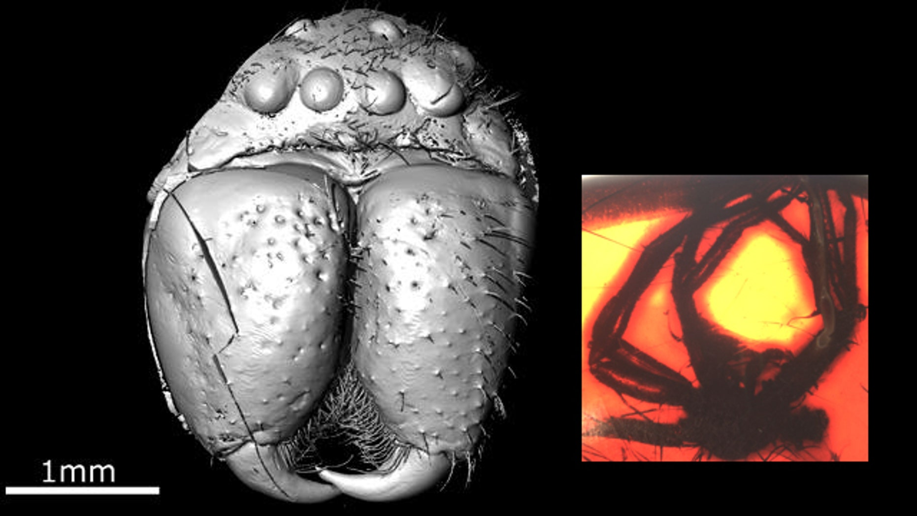 This is Eusprassus crassipes, a fossil huntsman spider in almost 50 million-year-old Baltic amber (shown in inset), as revealed by modern techniques of X-ray computed tomography.